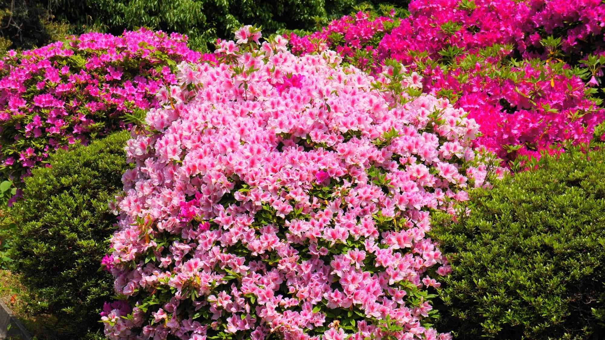 結構ある華やかなピンクのツツジ