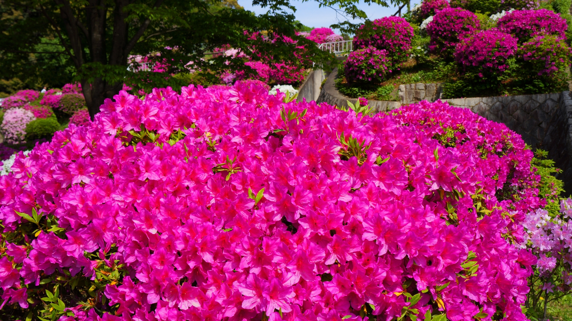 長閑な春を賑やかに彩るたくさんのツツジ
