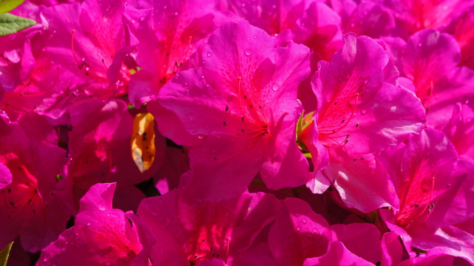太陽をいっぱい浴びて華やぐツツジの花