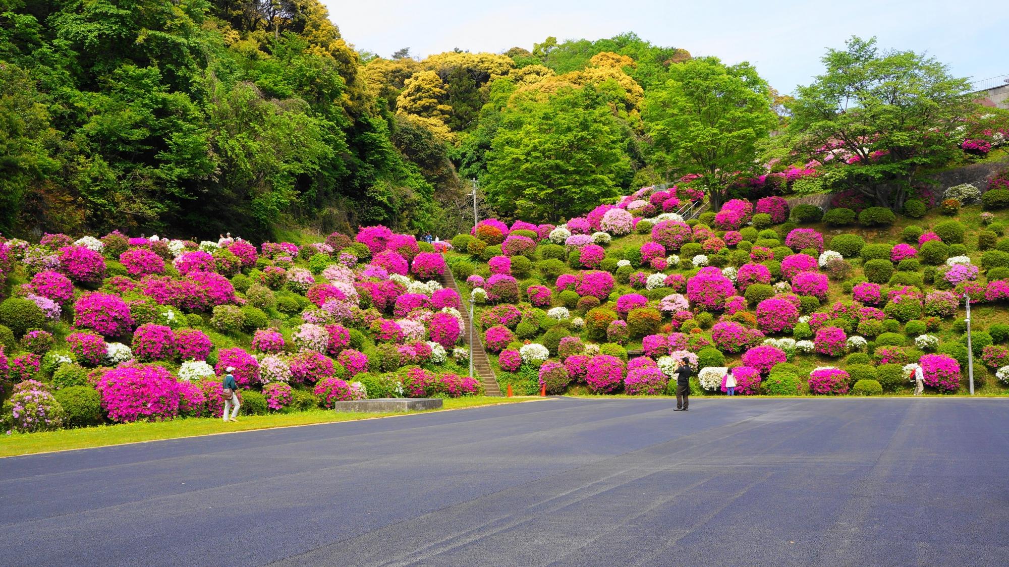 遠めから眺めた斜面に咲き誇るたくさんのツツジ