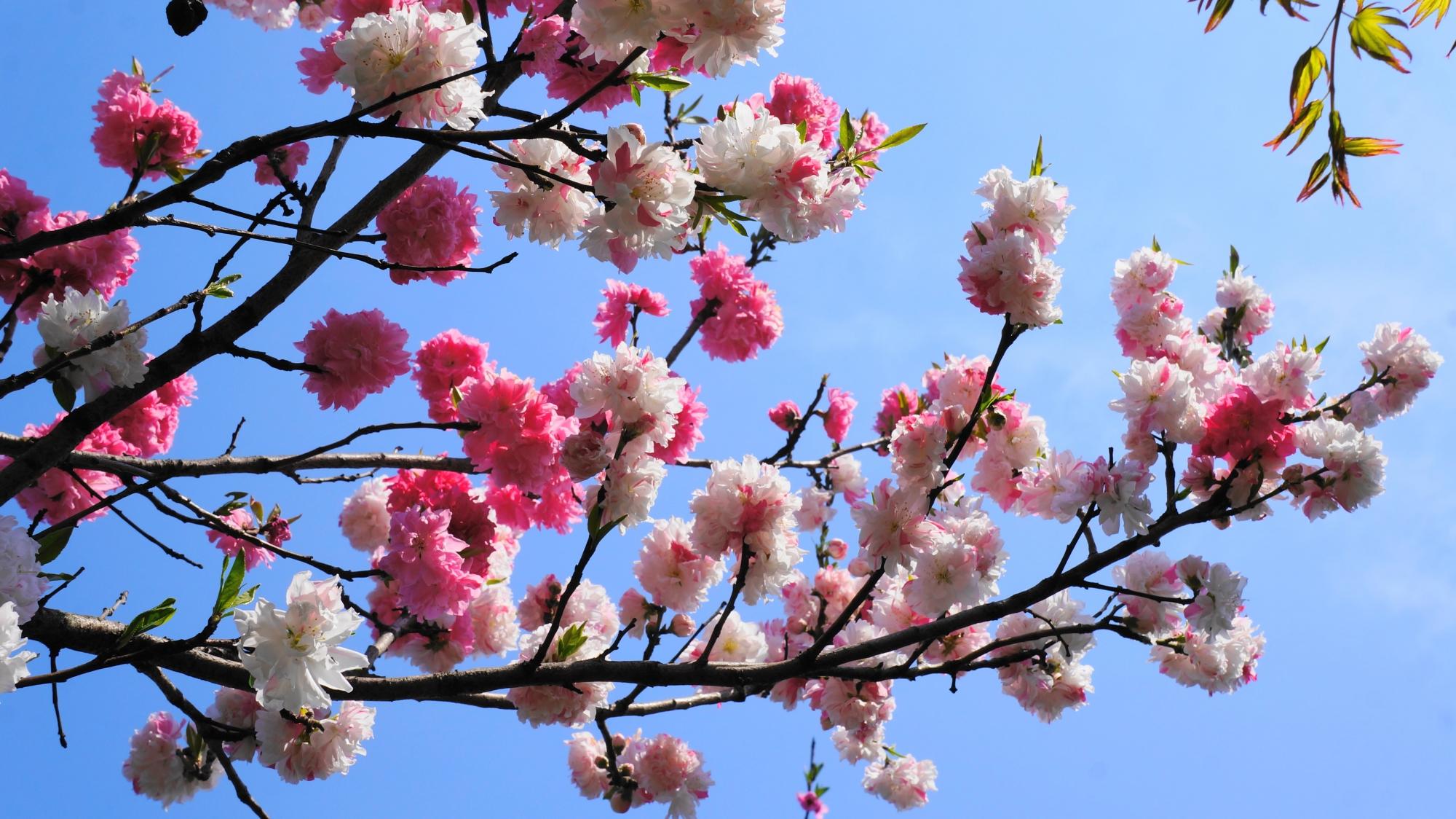 青空に映える華やかな桃の花