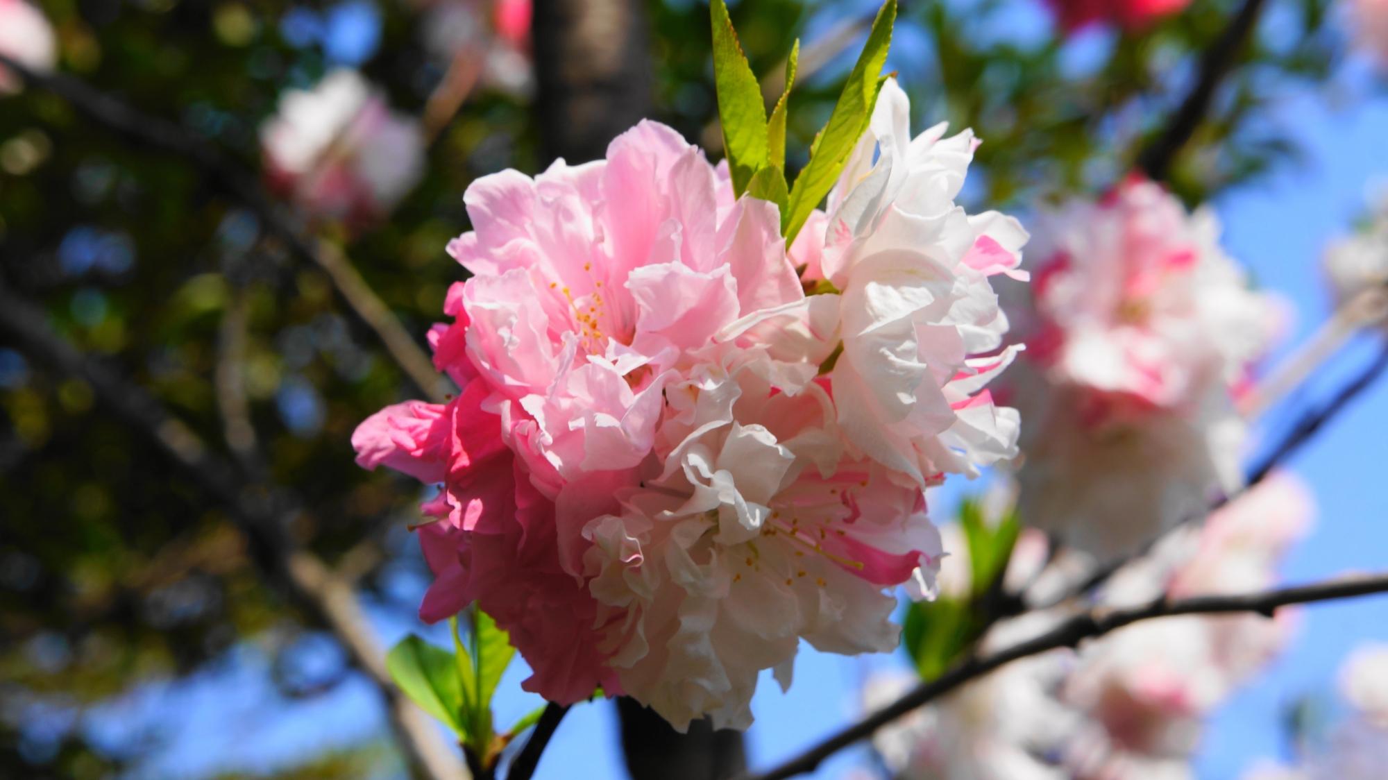 白とピンクと薄いピンクの三色仕様の桃の花