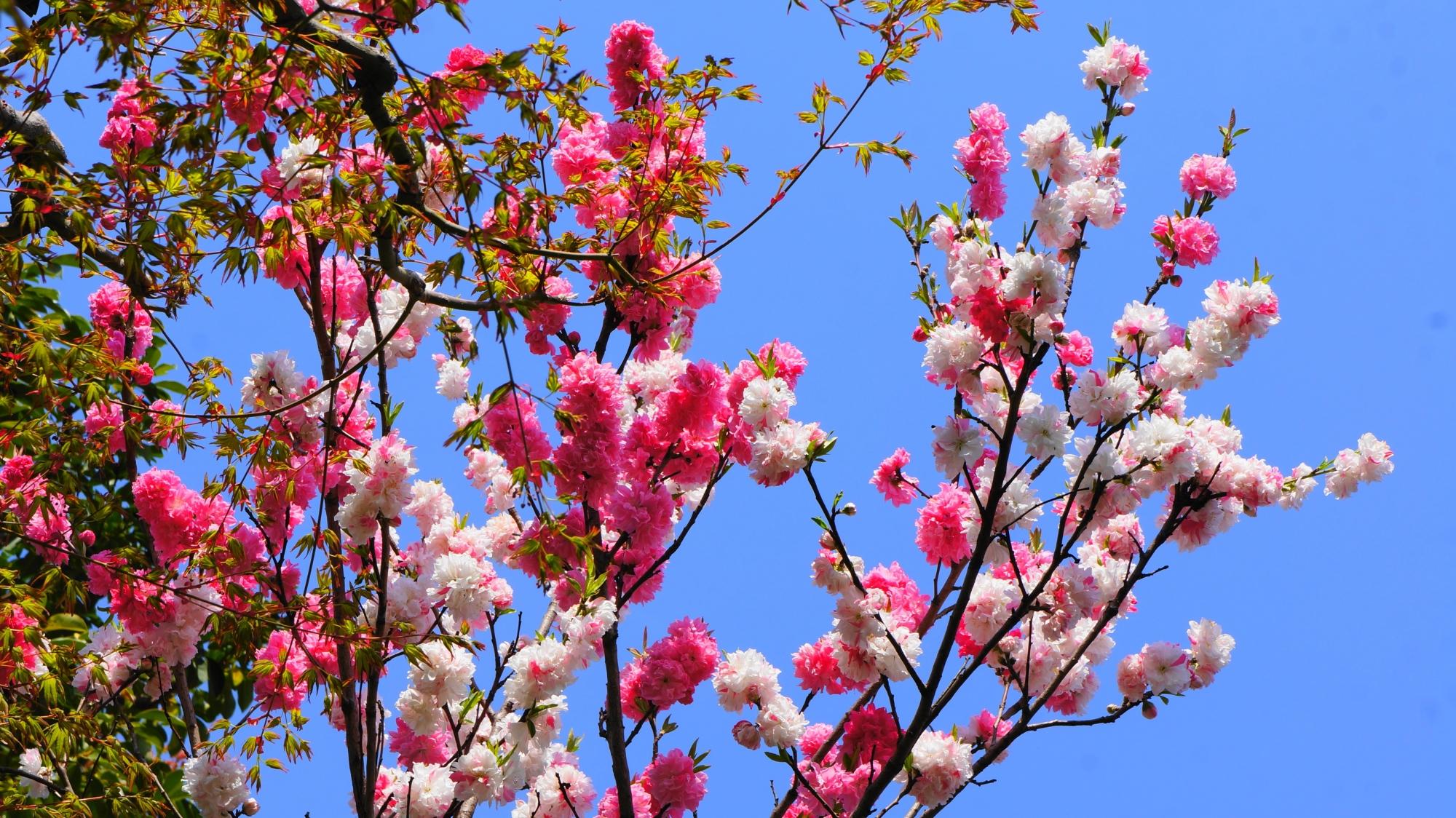 首途八幡宮の本殿前の桃の花