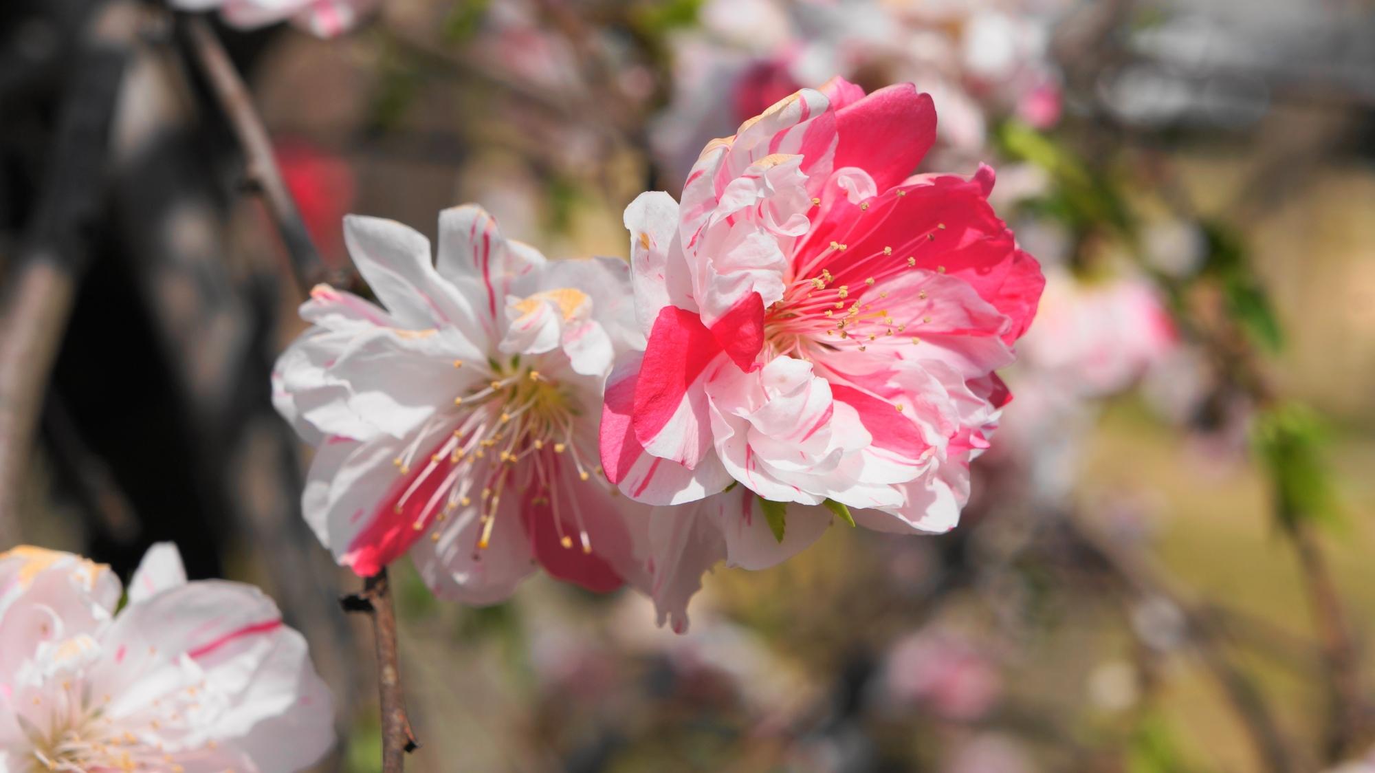 高画質 写真 桃の花 首途八幡宮