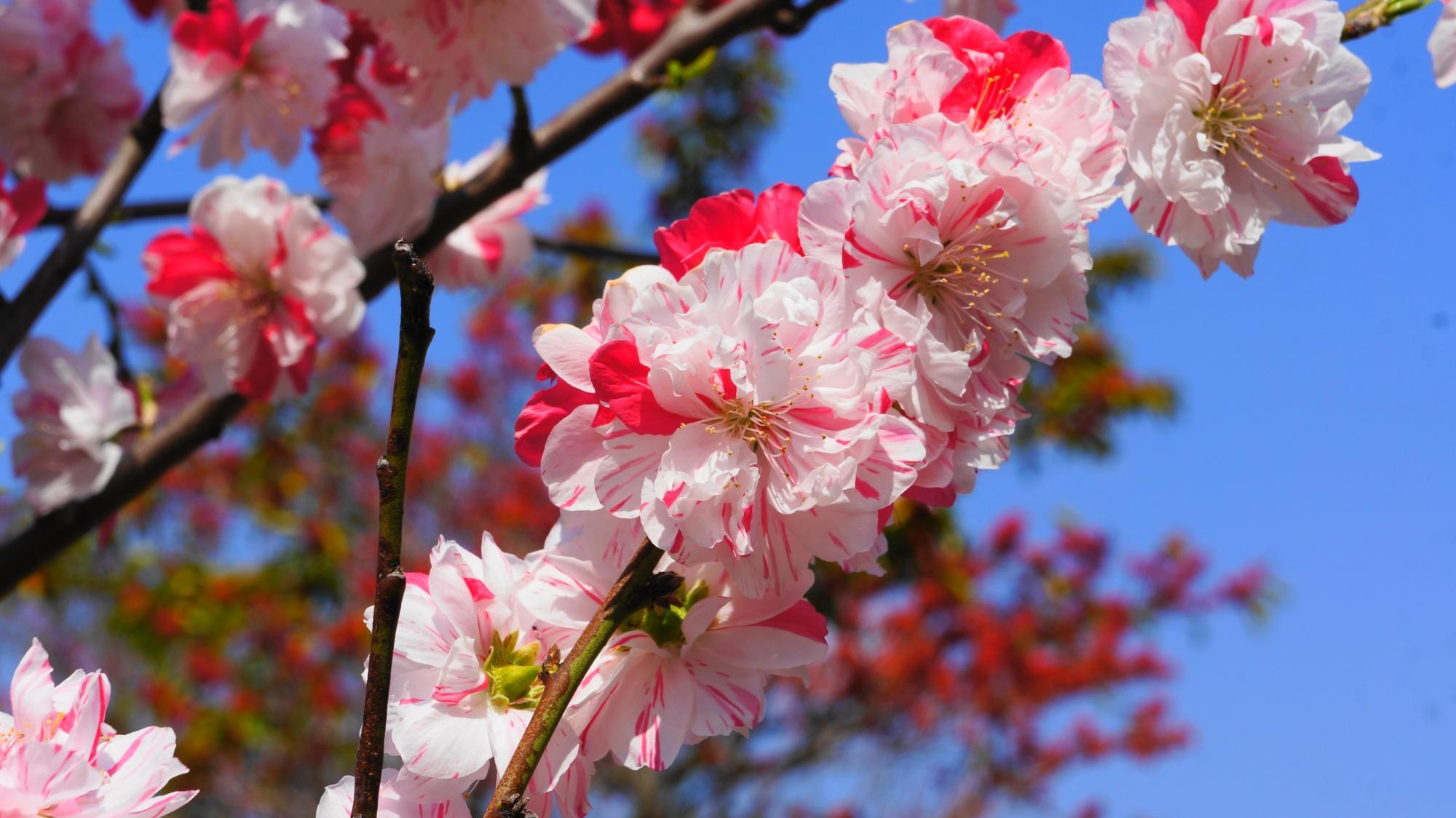 おめでたい紅白の華やかで可愛い桃の花です