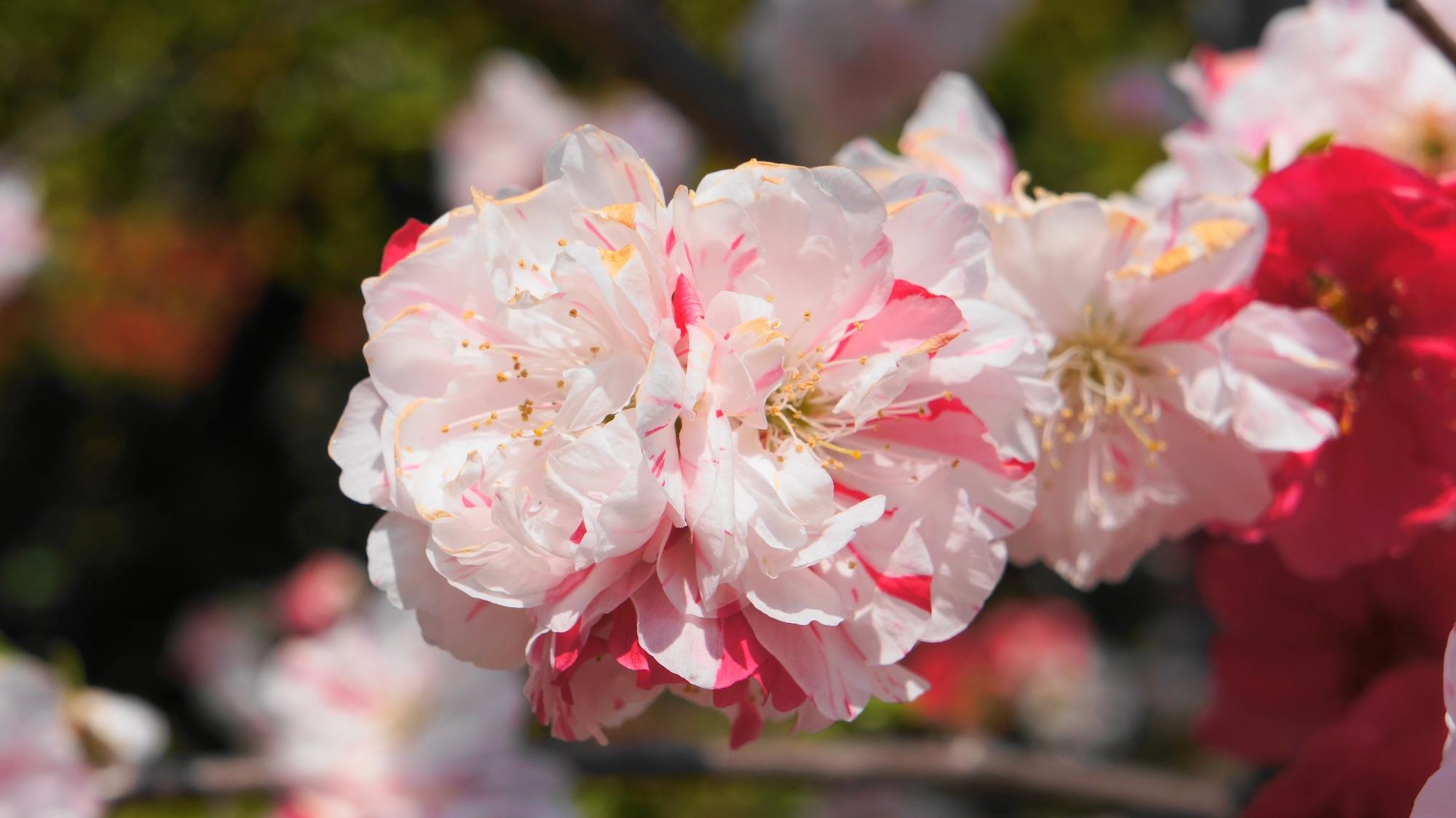 所狭しと咲くいろんな色の桃の花
