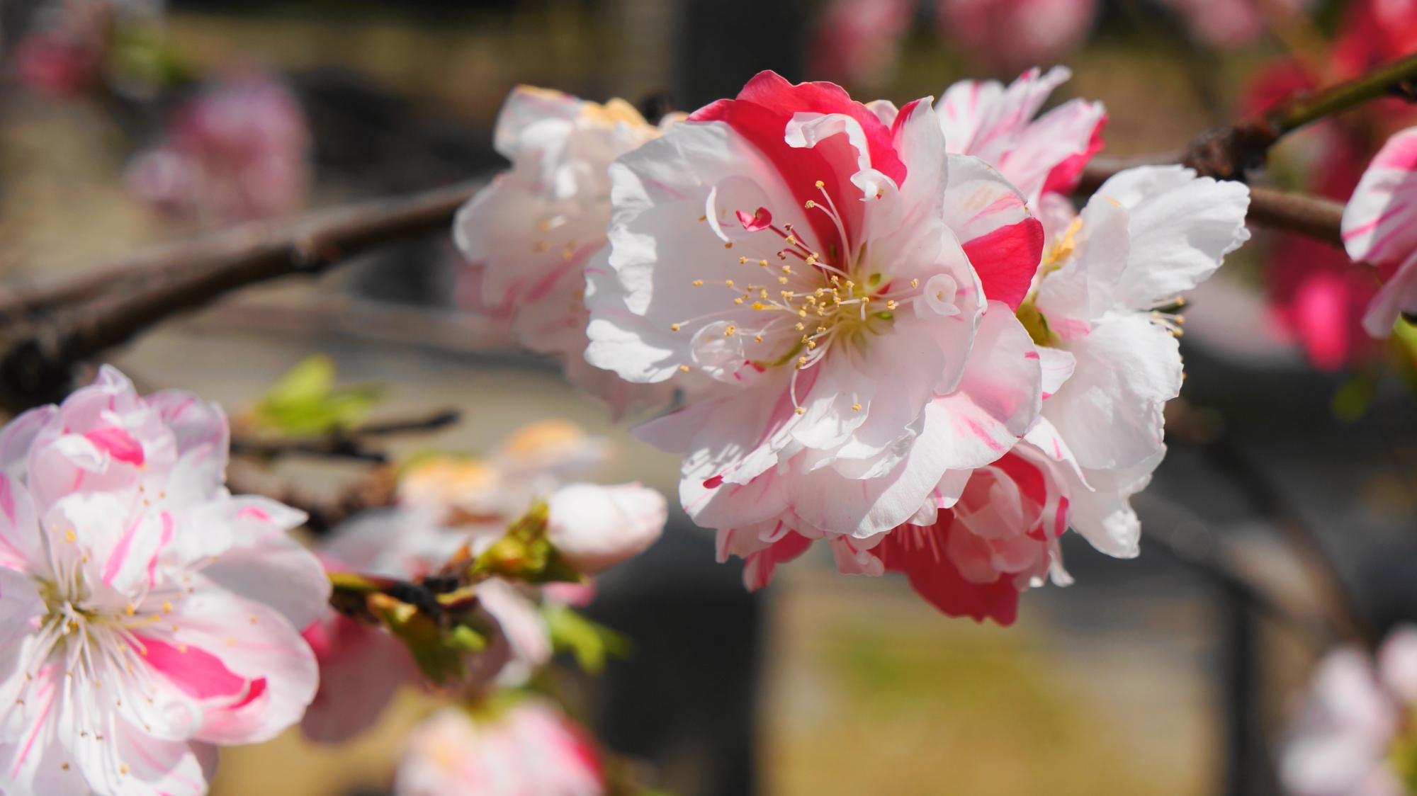 満開の見事な二色の桃の花
