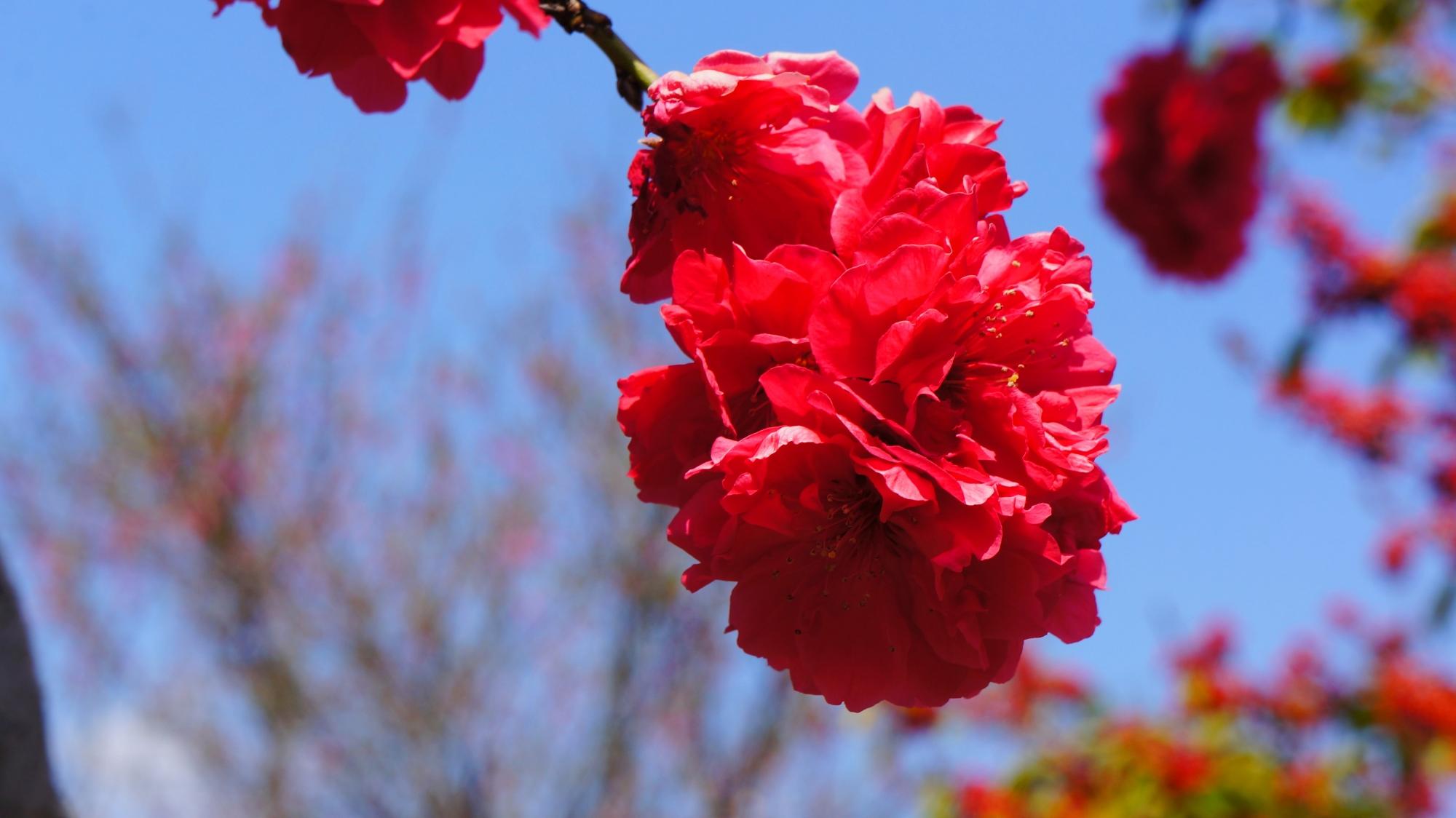 花びらが密集する桃の花