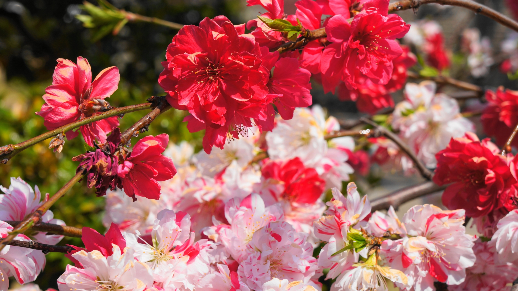 首途八幡宮の源平枝垂れ桃と紅枝垂れ桃