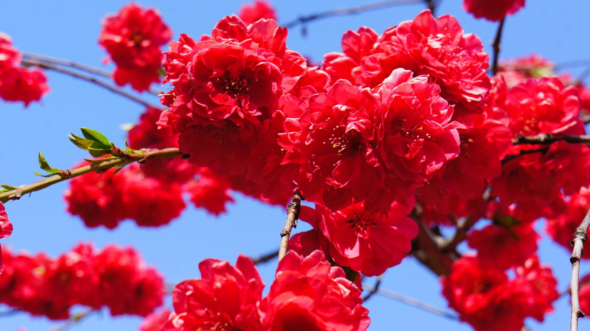 首途八幡宮の満開の桃の花