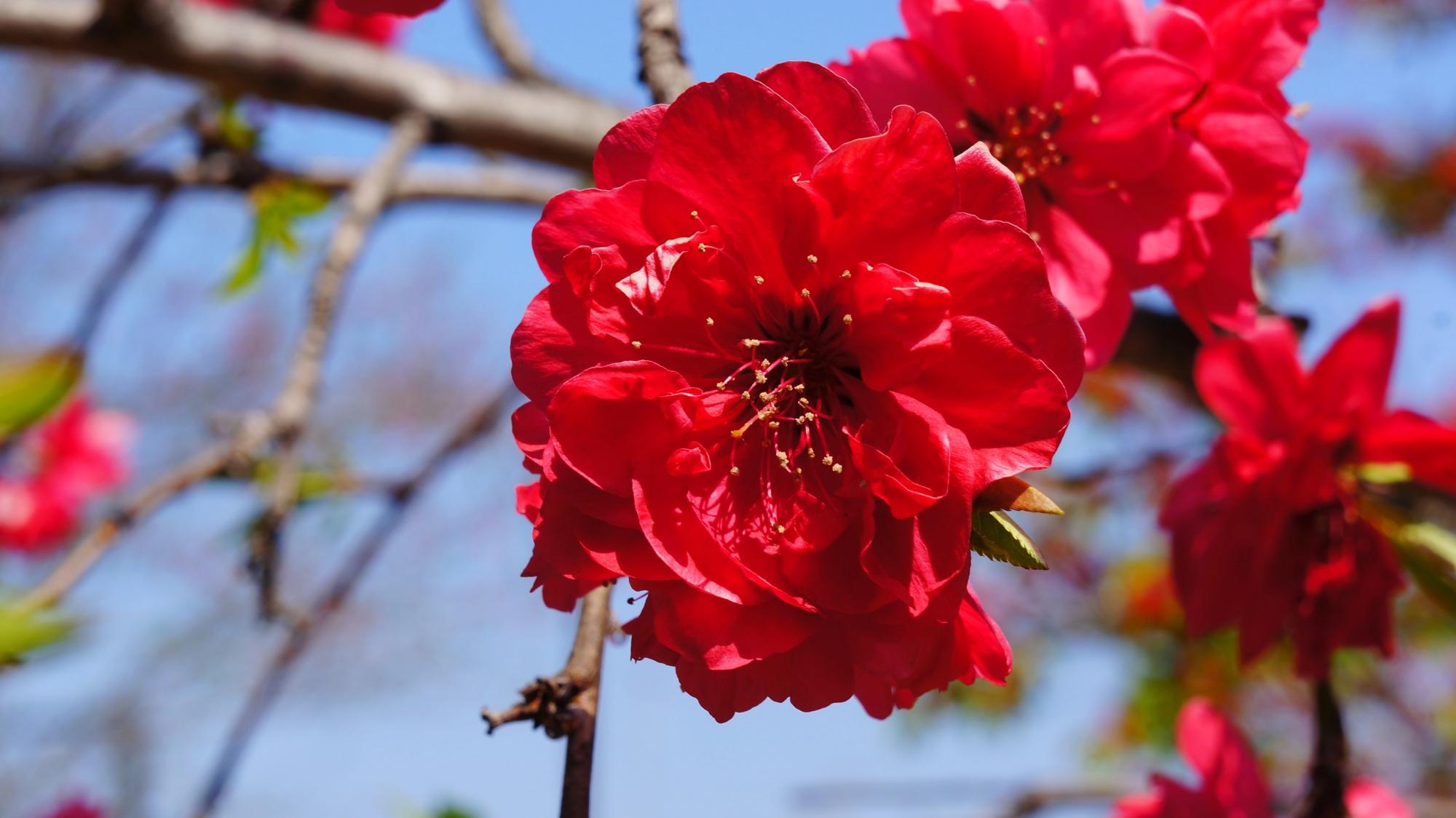 春を彩る鮮烈な色合いの桃の花