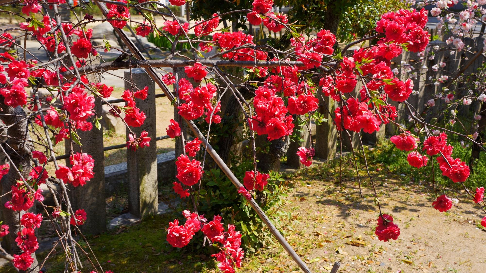 ビビッドな赤色の桃の花