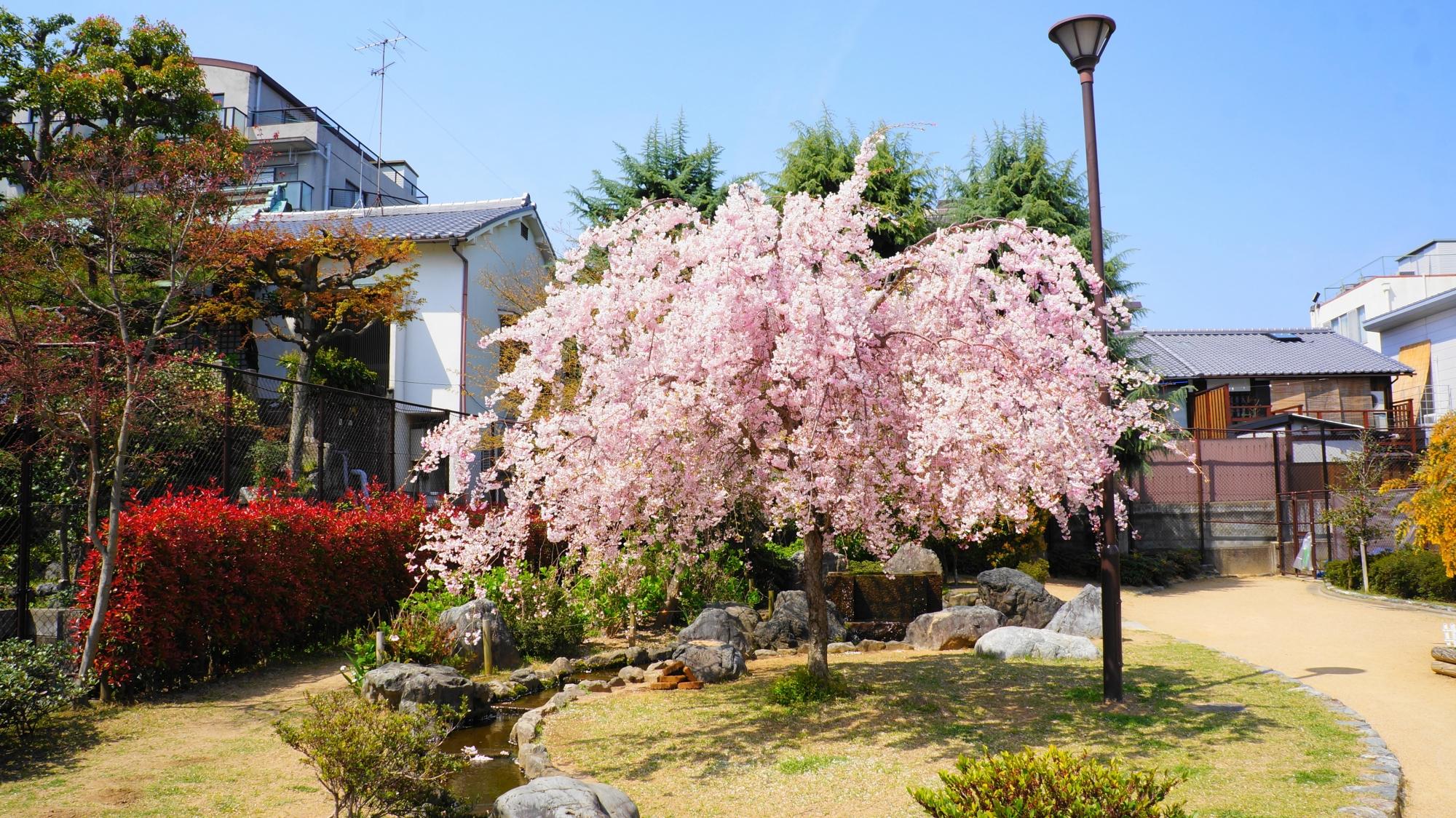 首途八幡宮の隣にある桜井公園の枝垂れ桜