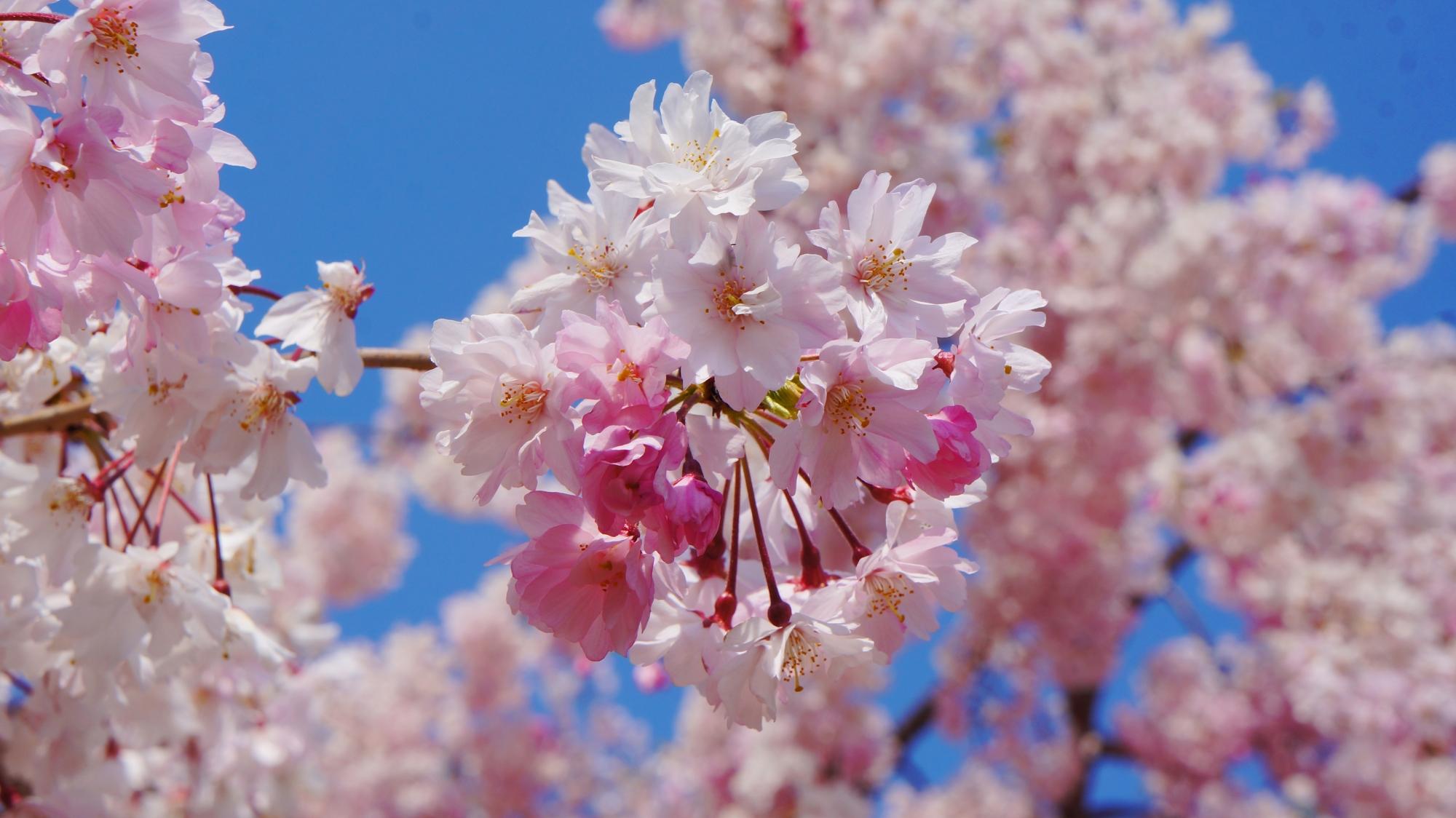 桜井公園というだけある素晴らしい桜