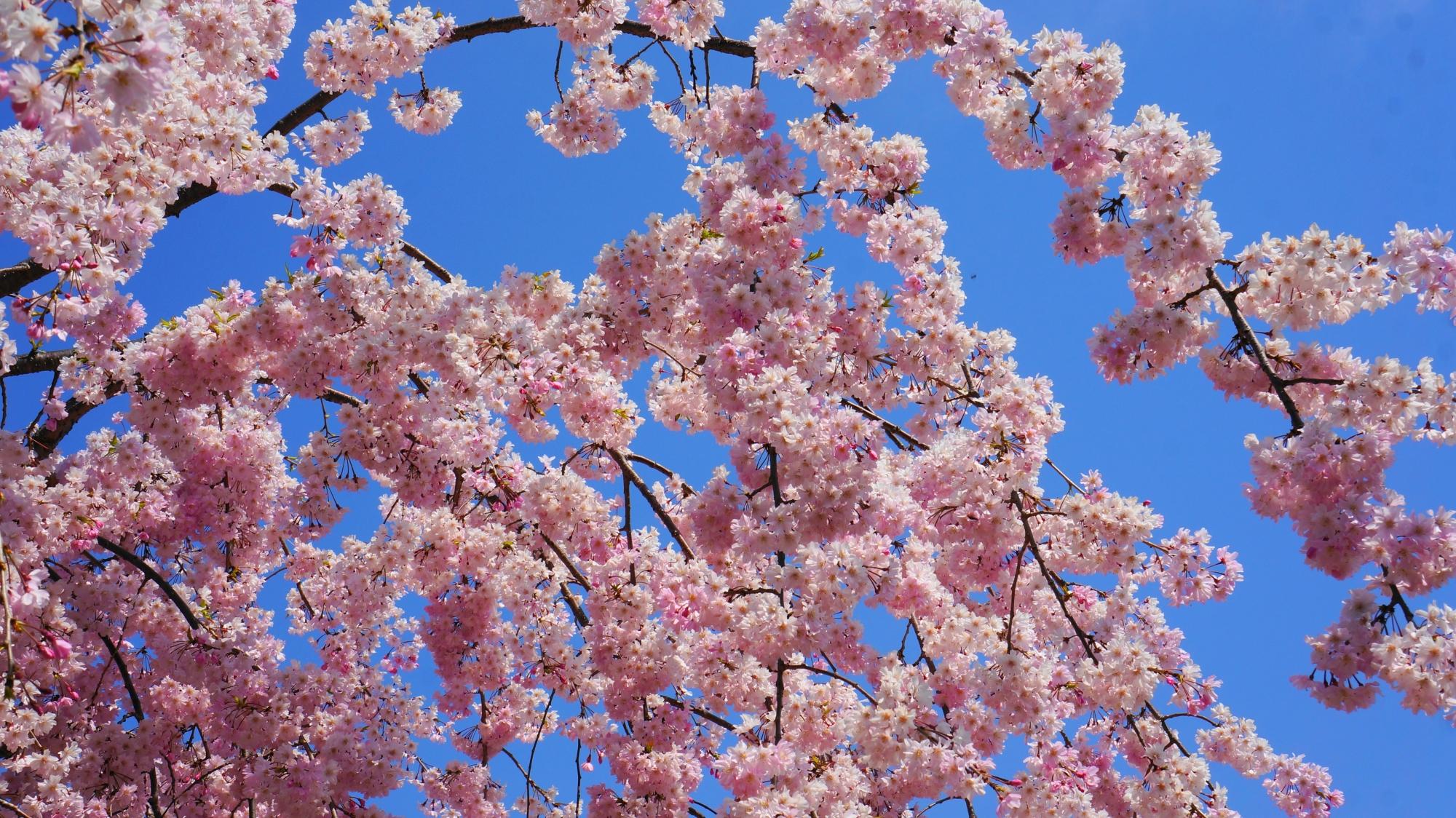 青空に映えるピンクの桜の花