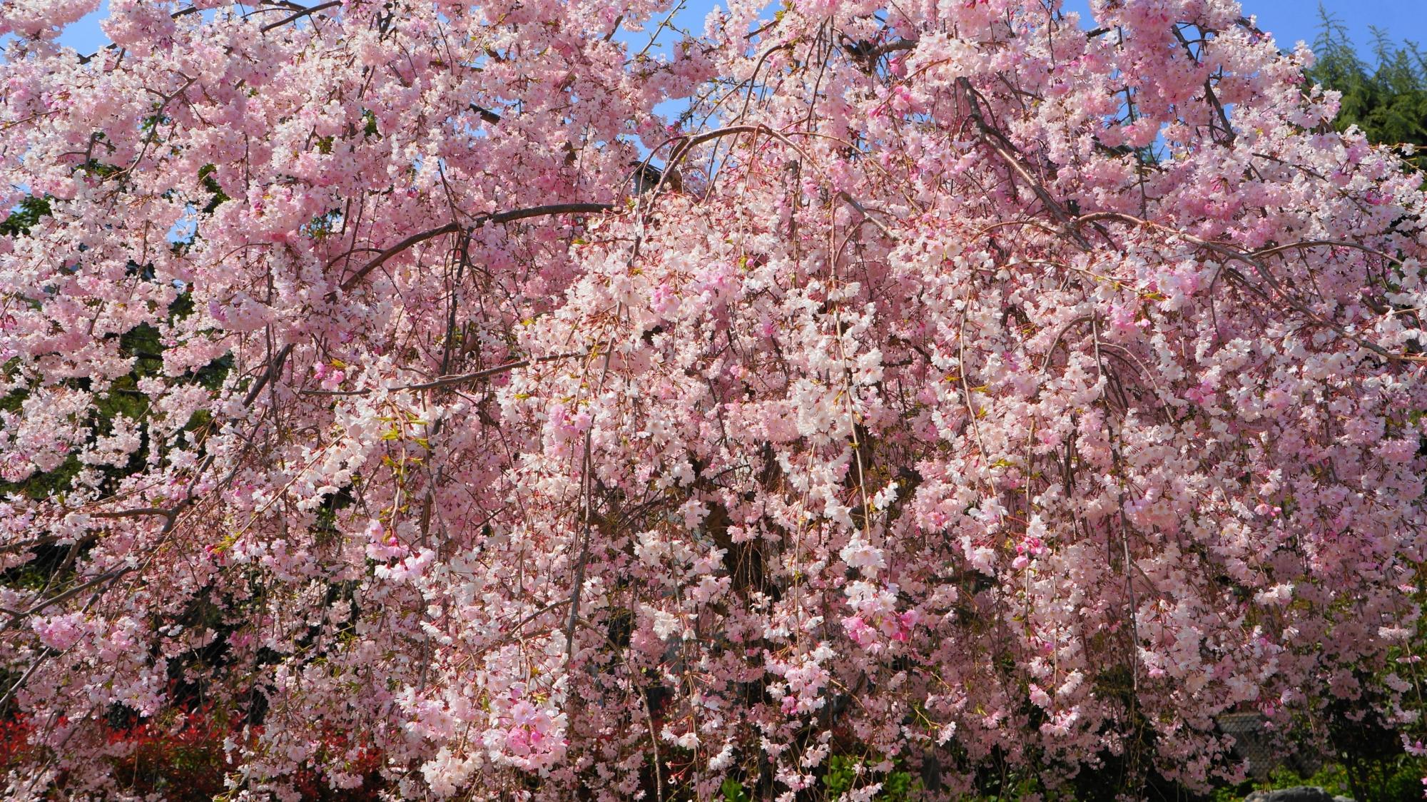 桜井公園の満開の華やかなしだれ桜