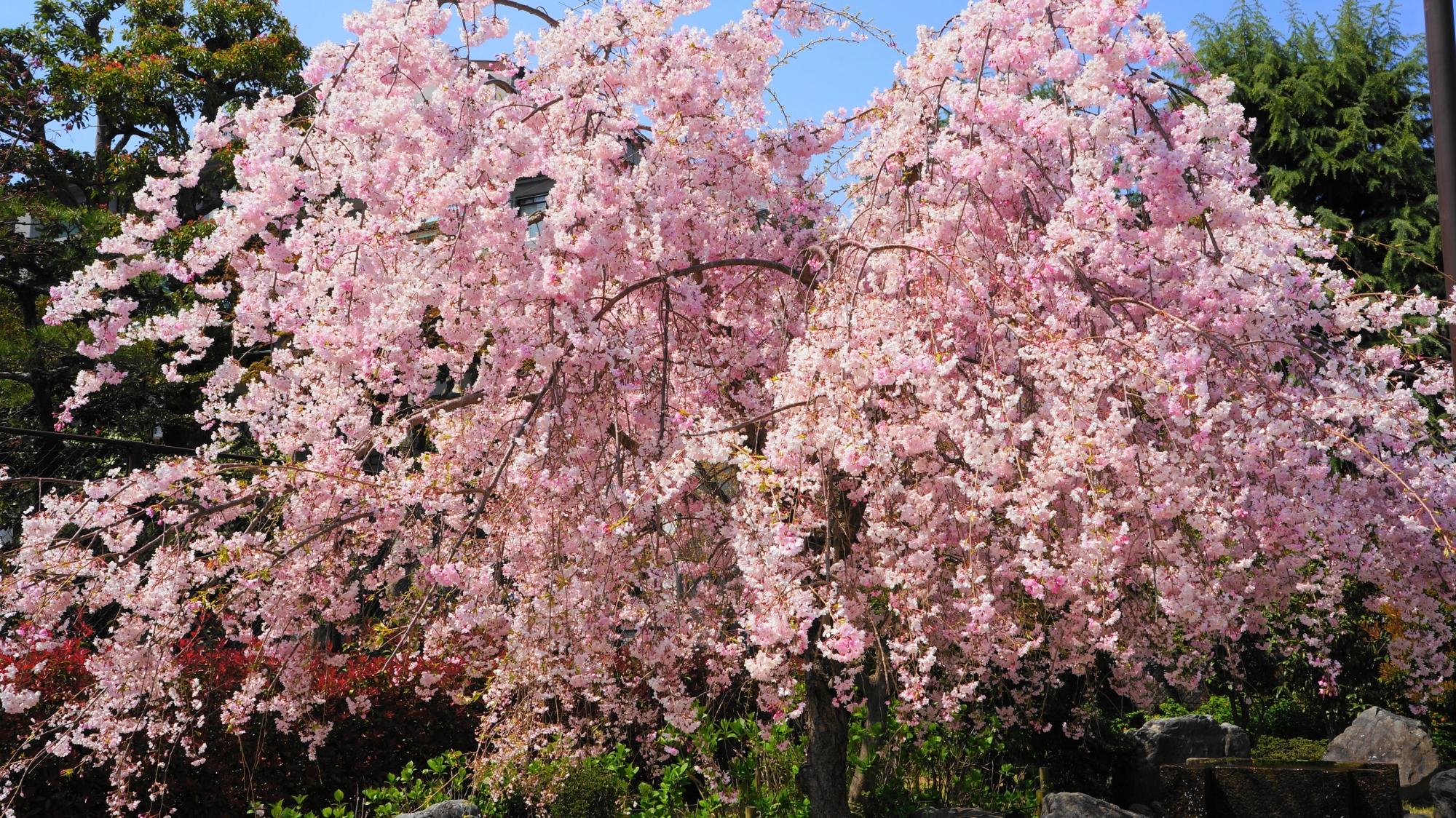 素晴らしい首途八幡宮の桃の花と桜井公園の桜