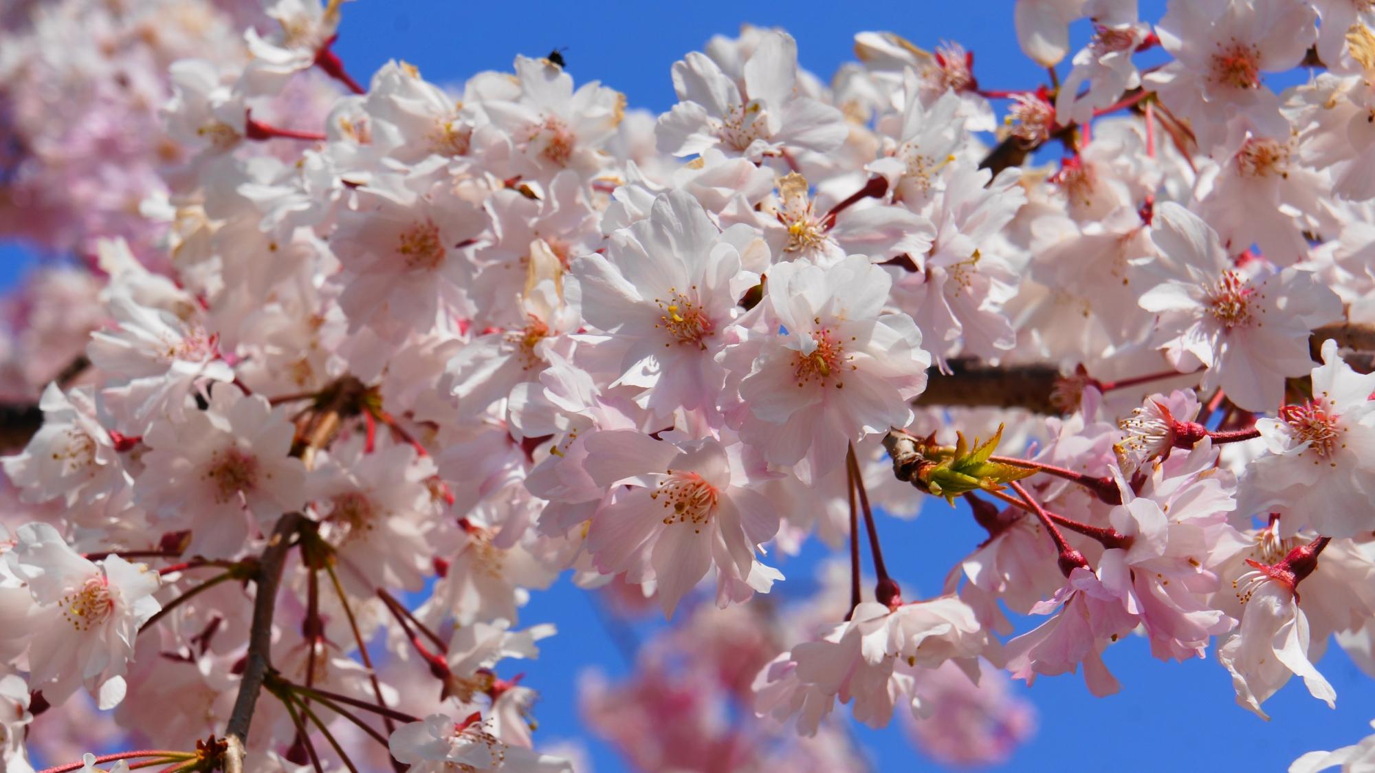 桜井公園の春を彩る見事な桜