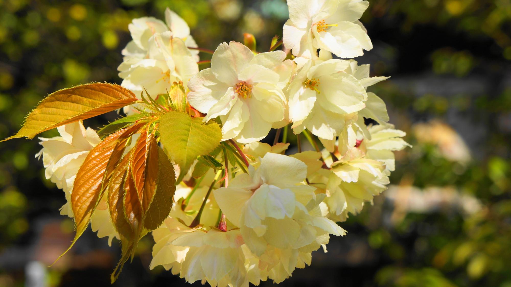 本当に黄色い桜