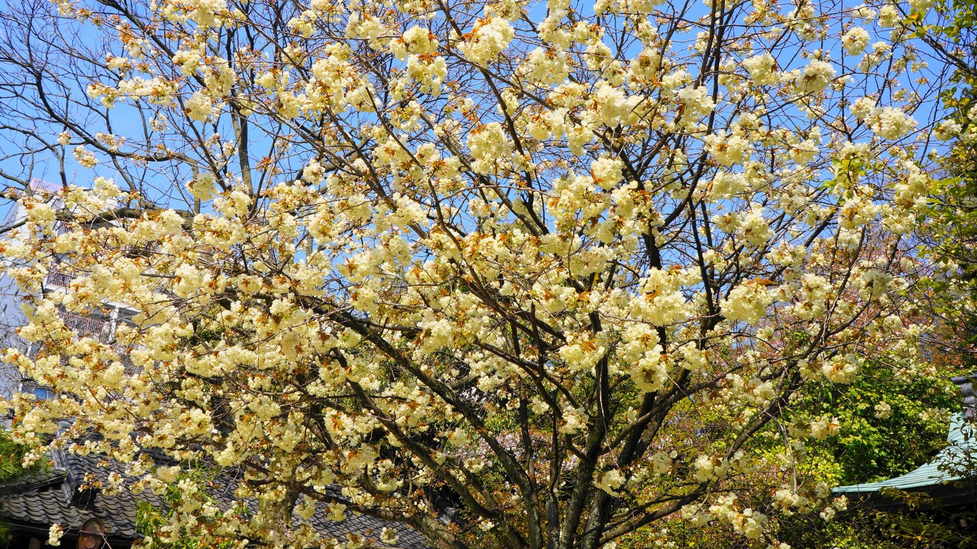 白峯神宮の本殿前に咲く黄桜