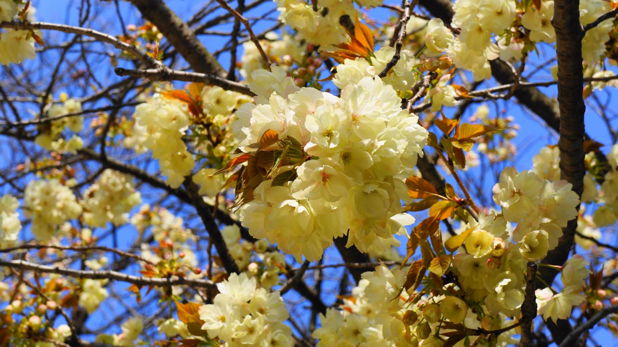 豪快に咲く黄桜