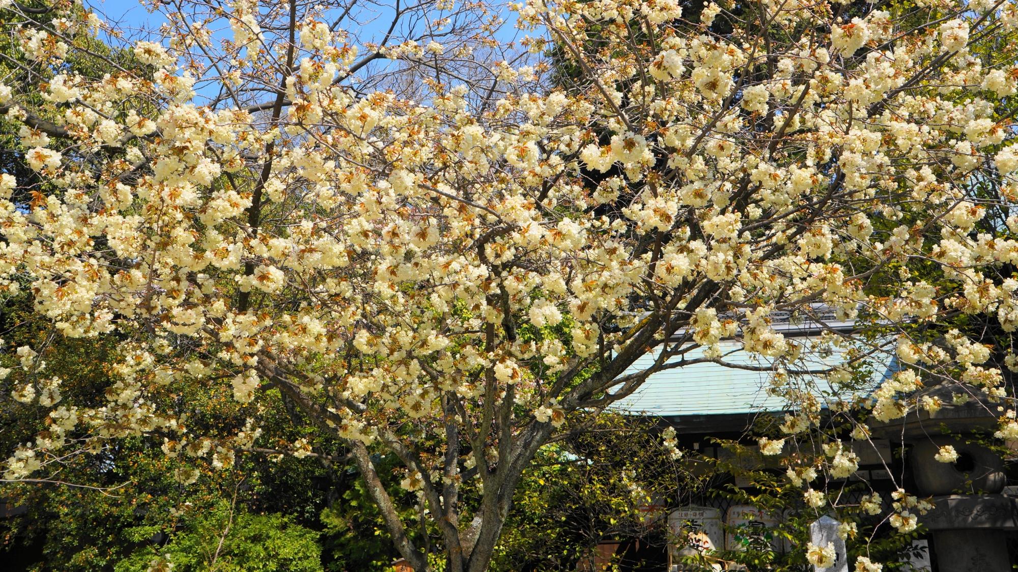 あのお酒で有名な黄色い桜「黄桜」