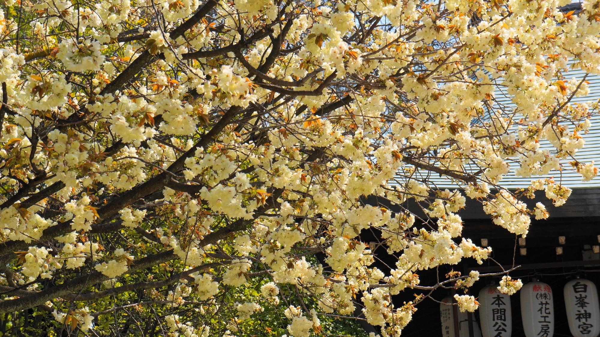 見ごろ時期は遅めの黄桜
