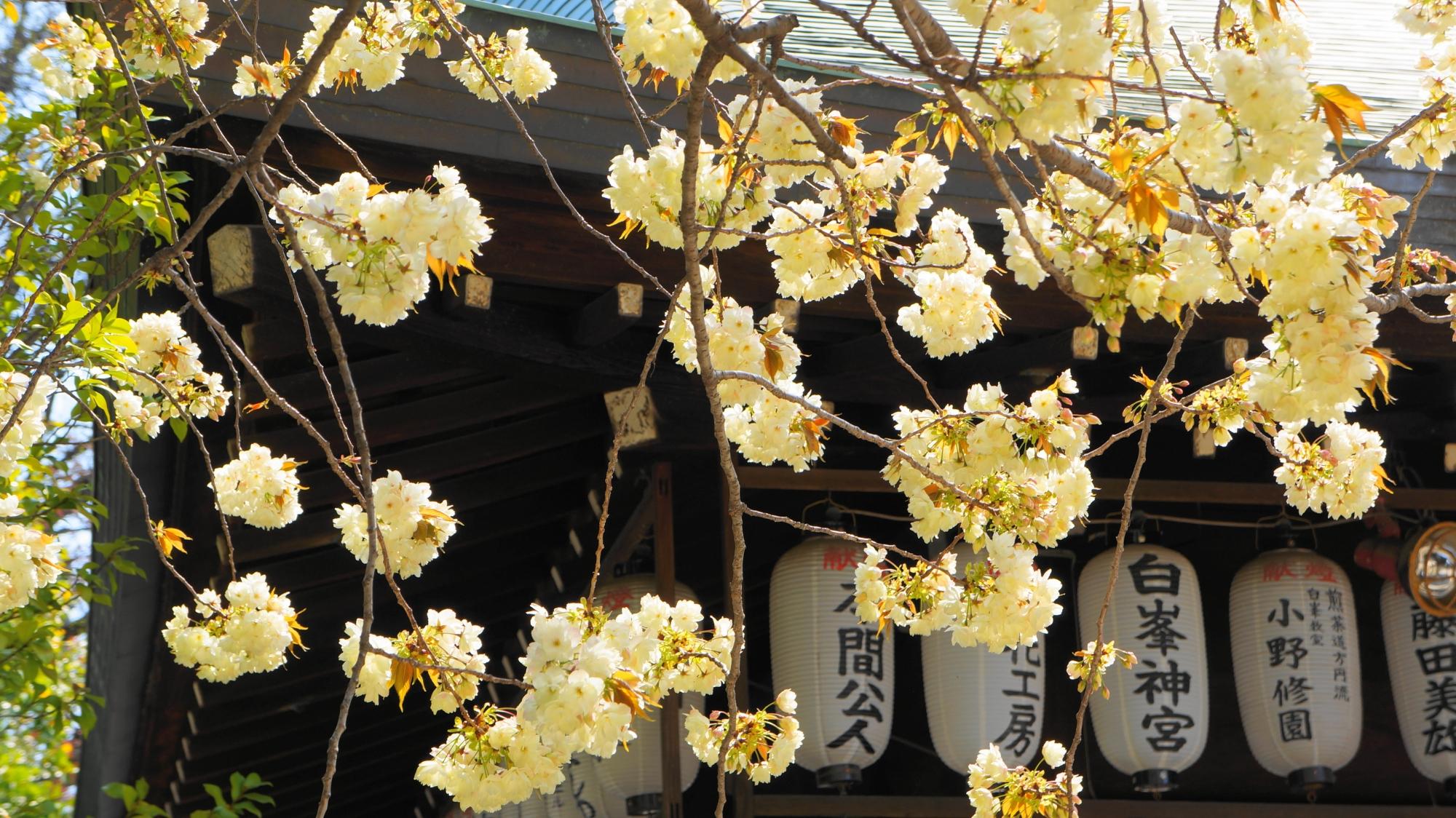 絵になる拝殿の提灯と黄桜