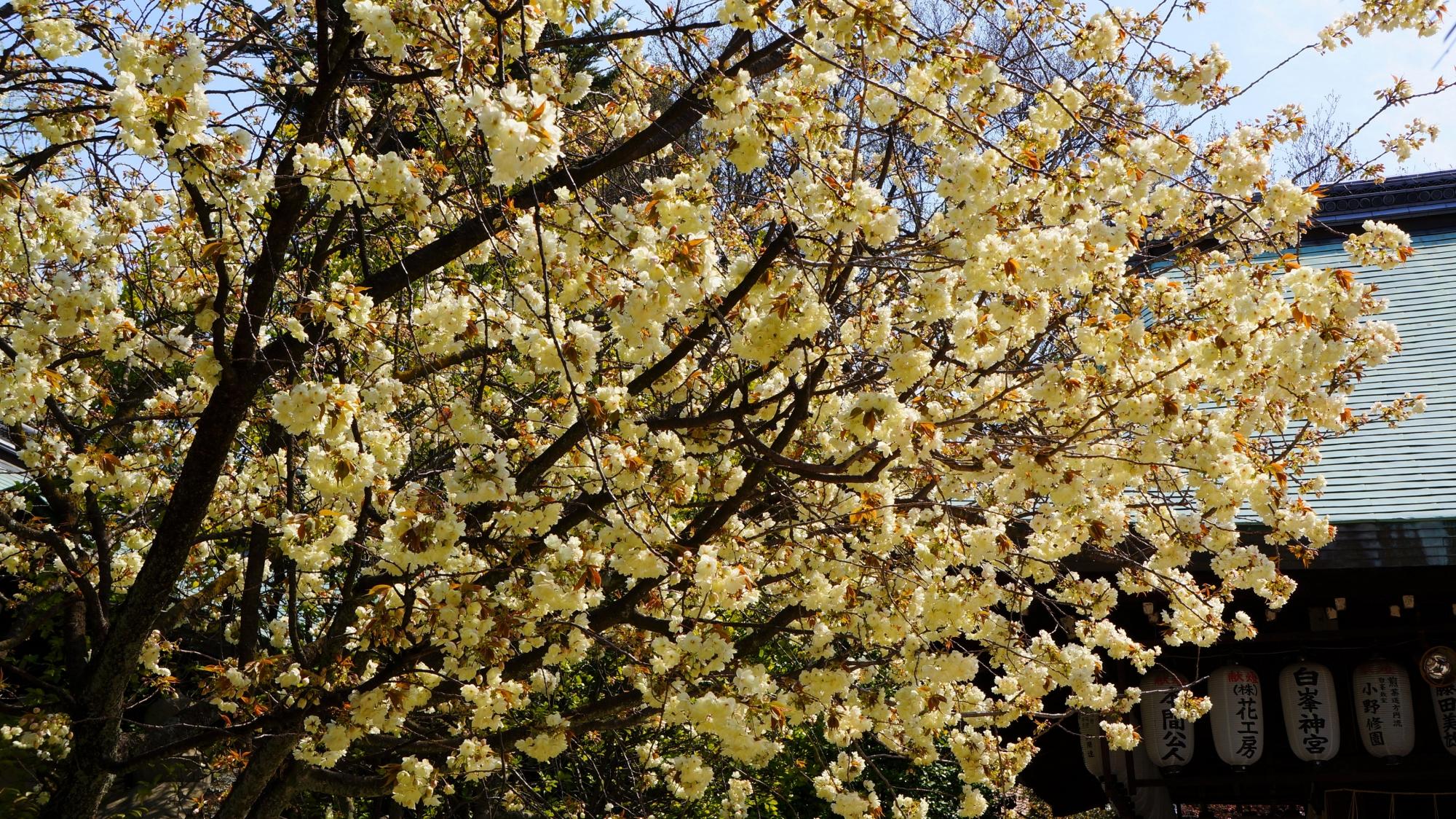 境内を彩る見事な黄桜