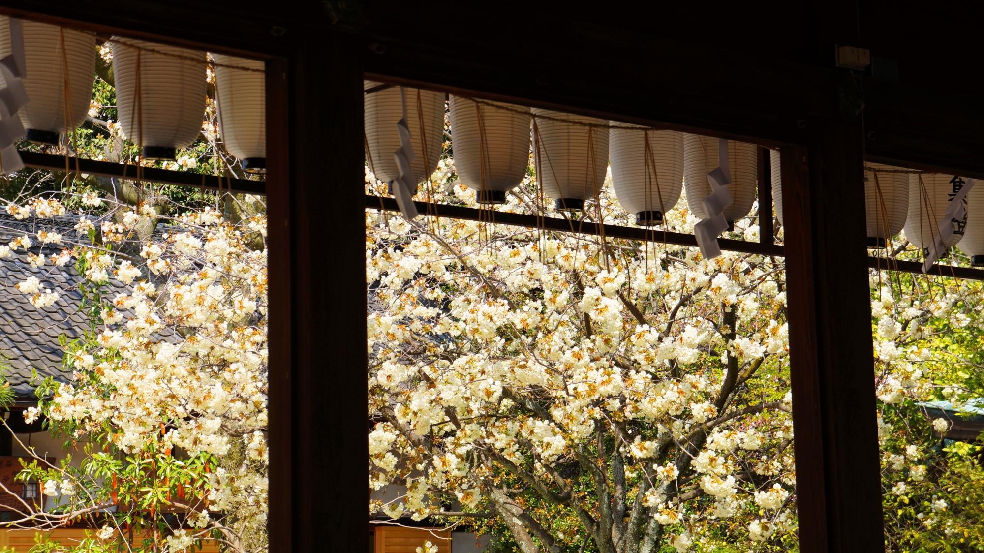 白峯神宮の素晴らしい黄桜と春の情景