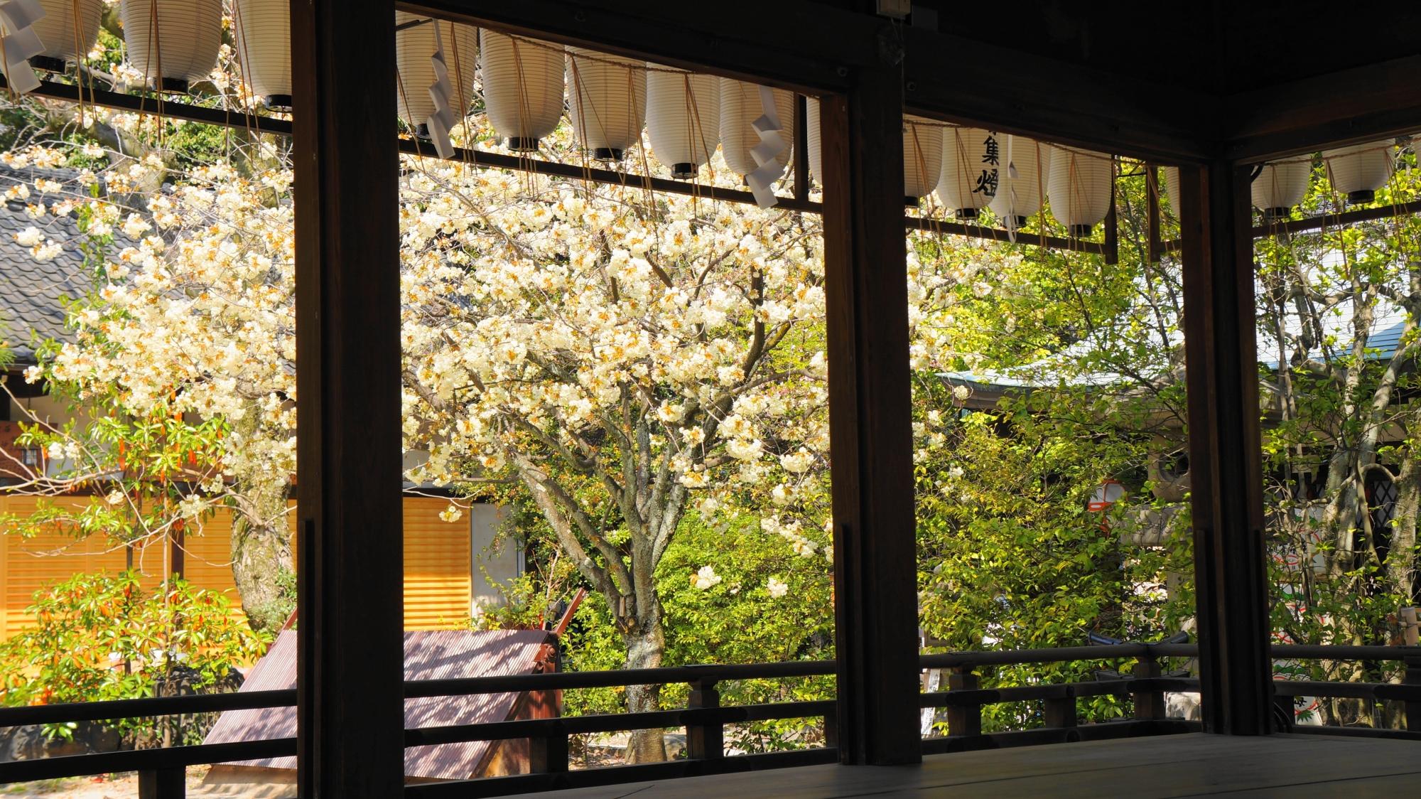 拝殿越しに眺める黄桜