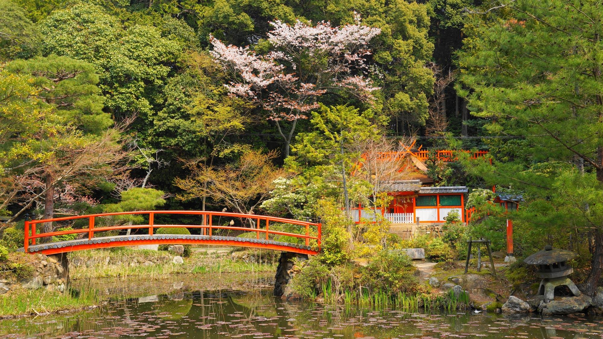 桜が華やかな彩りをつける鯉沢の池と若宮社