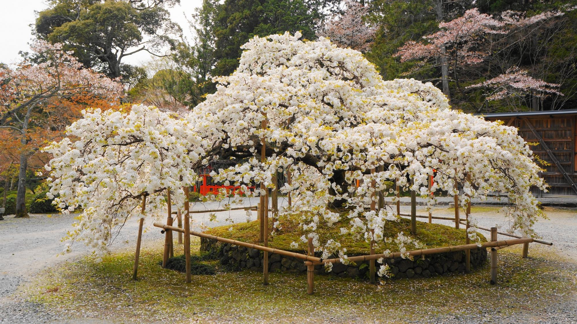 ちょうど満開の千眼桜