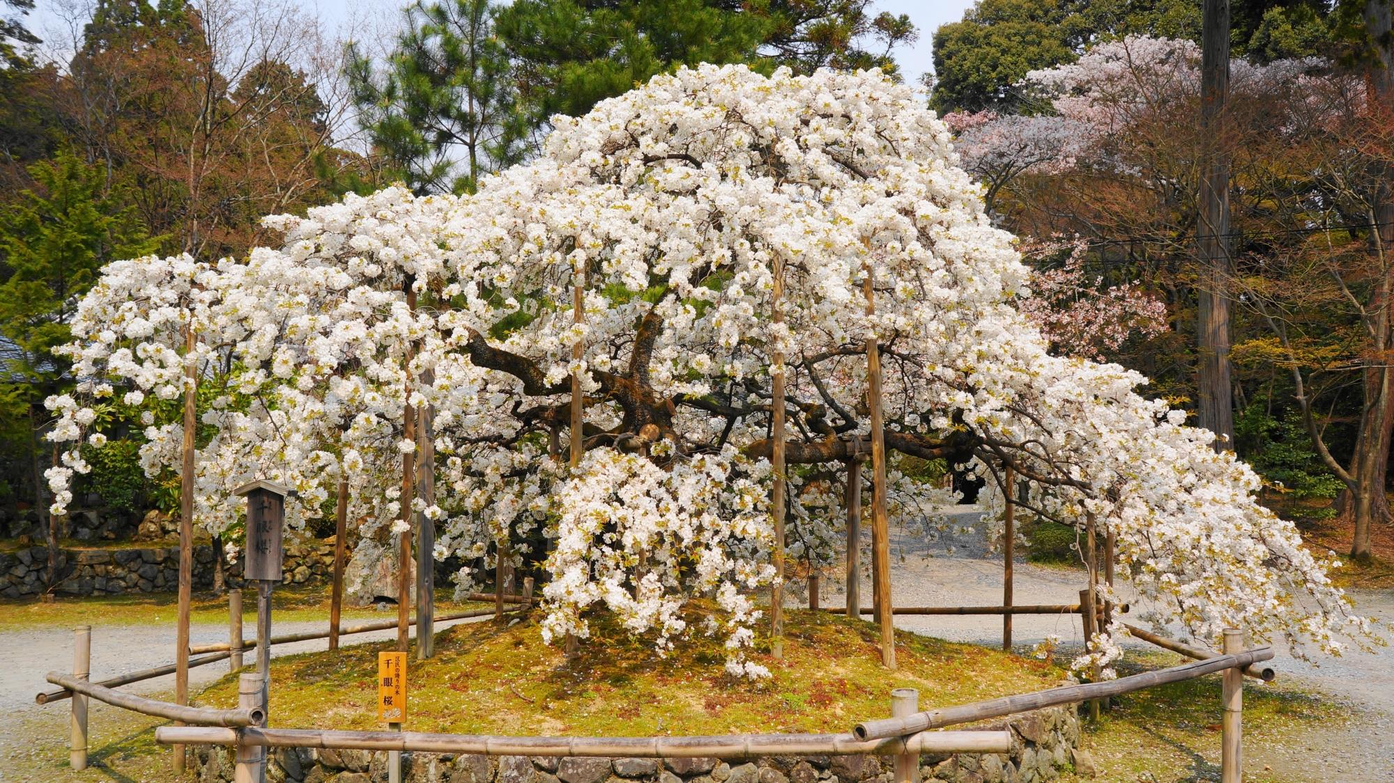 横に大きく広がった形をした千眼桜