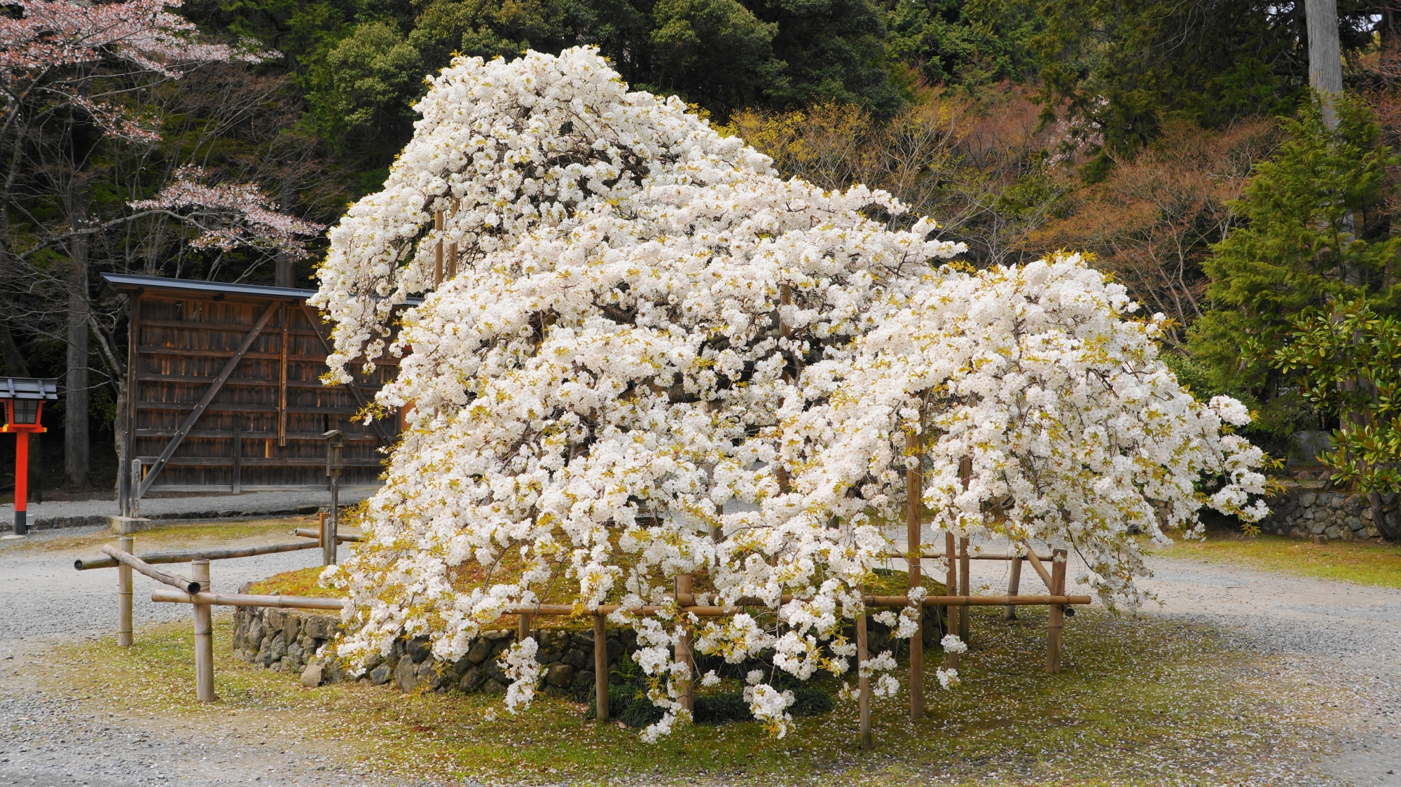 満開をむかえてから3日ほどで散るため幻の桜と言われる千眼桜