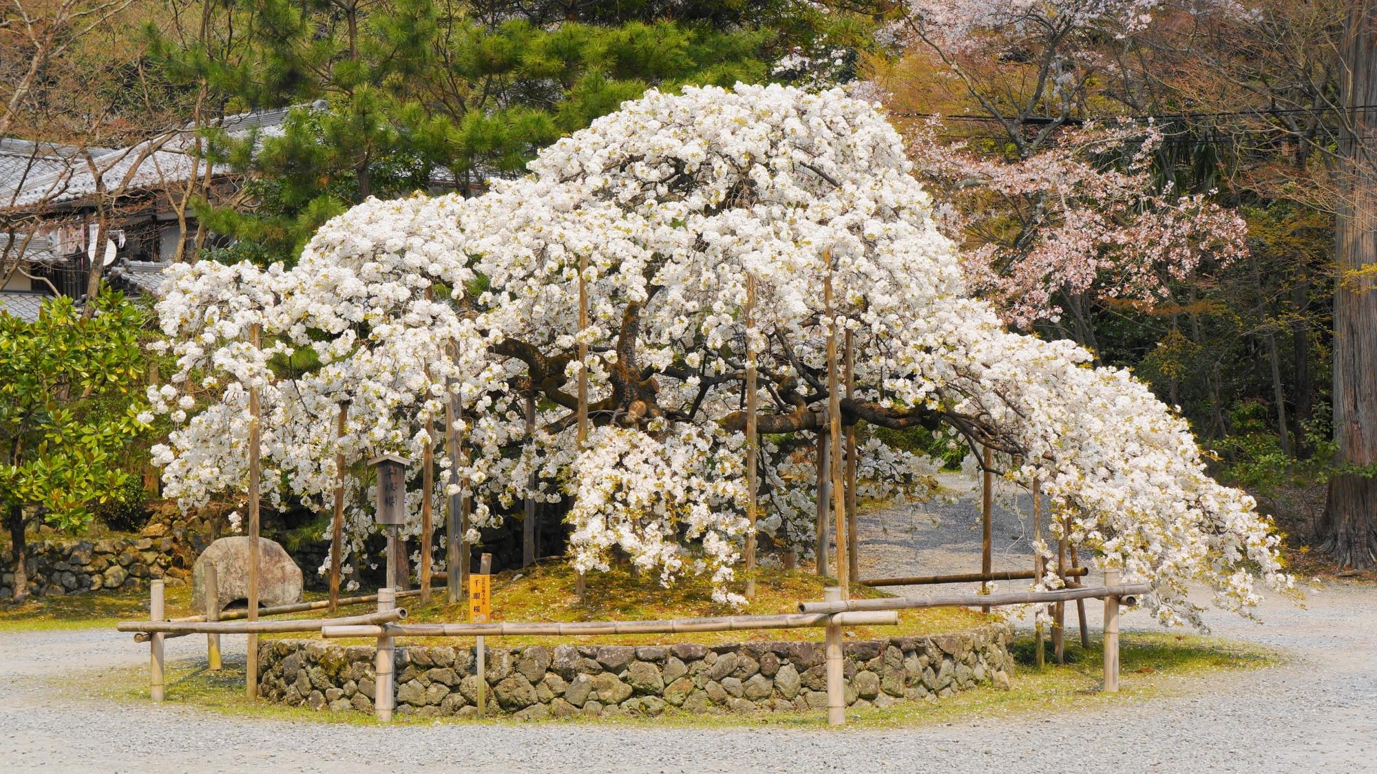 大原野神社の千眼桜(せんがんざくら)
