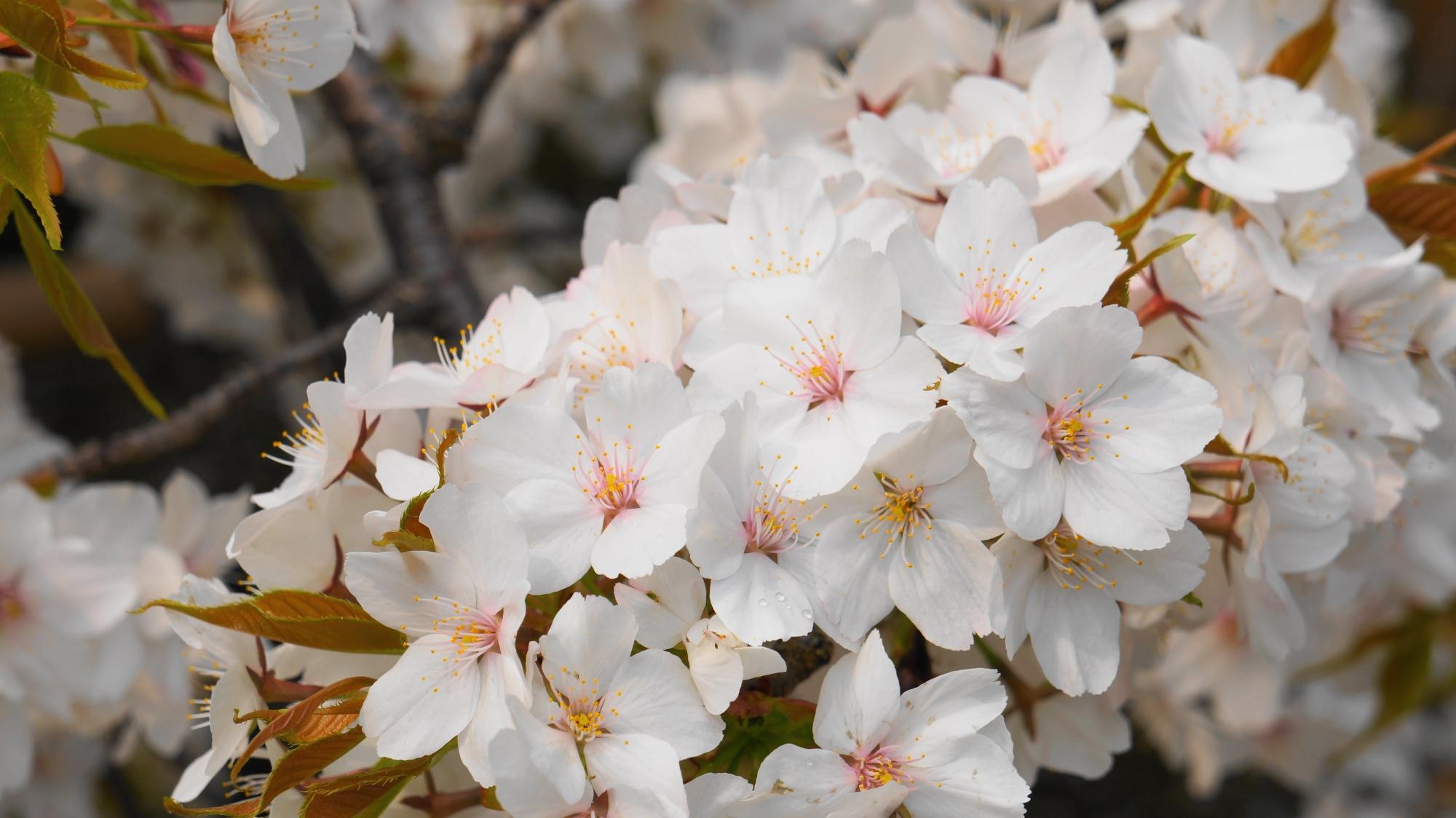 近くで見るとほんのり可愛い桜の花