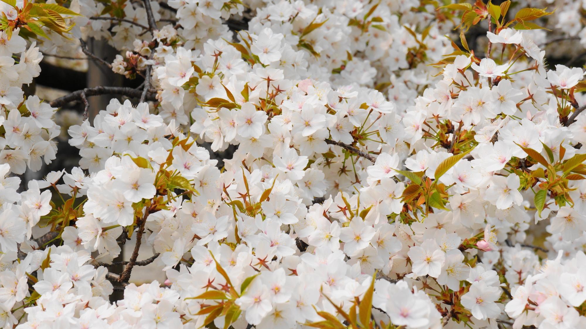 華やかな大きな花がいっぱい咲く桜