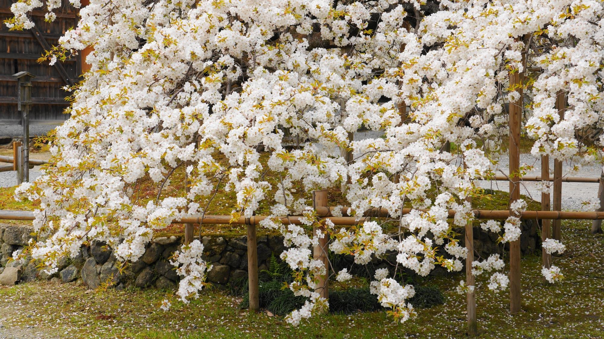 地面に付くほど枝垂れても咲く桜