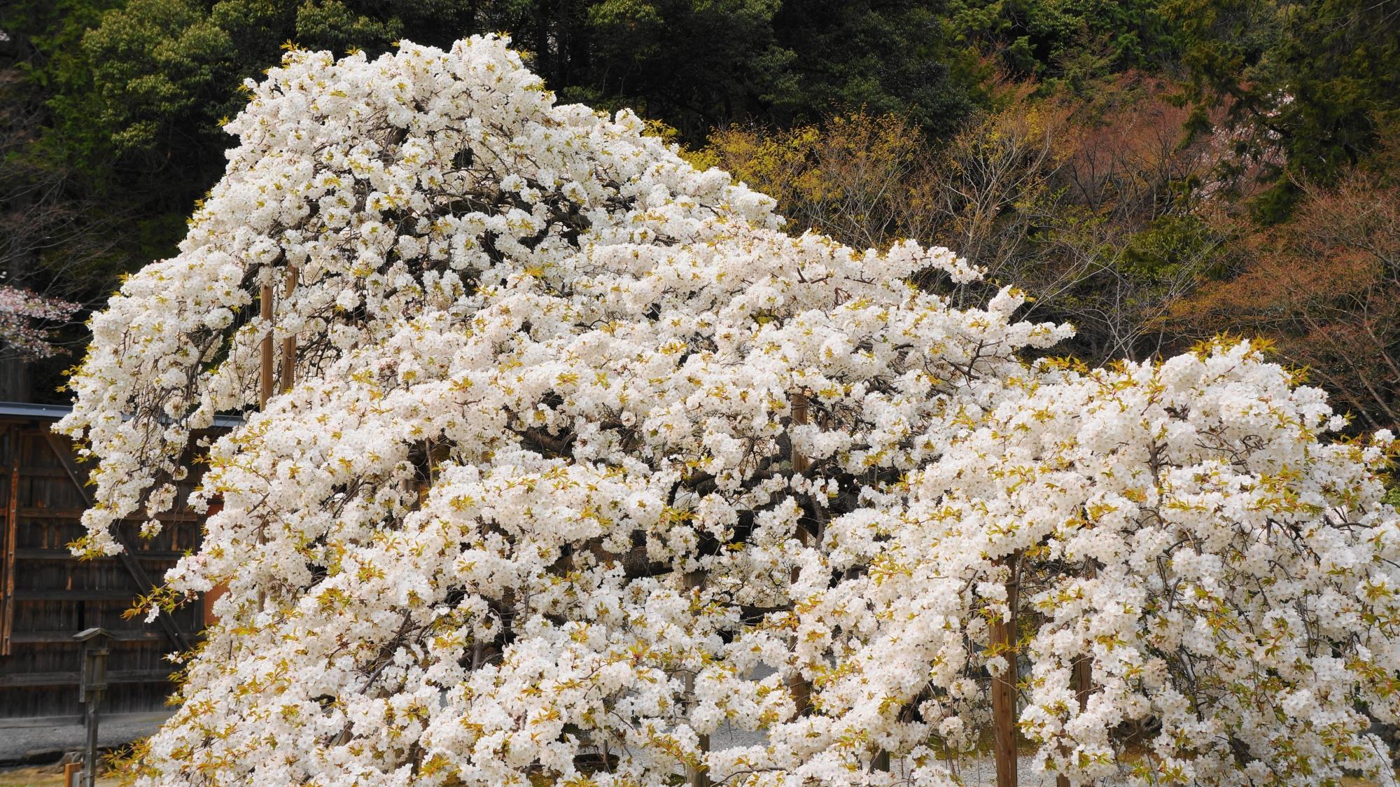 コロンとした花をいっぱいつけた千眼桜