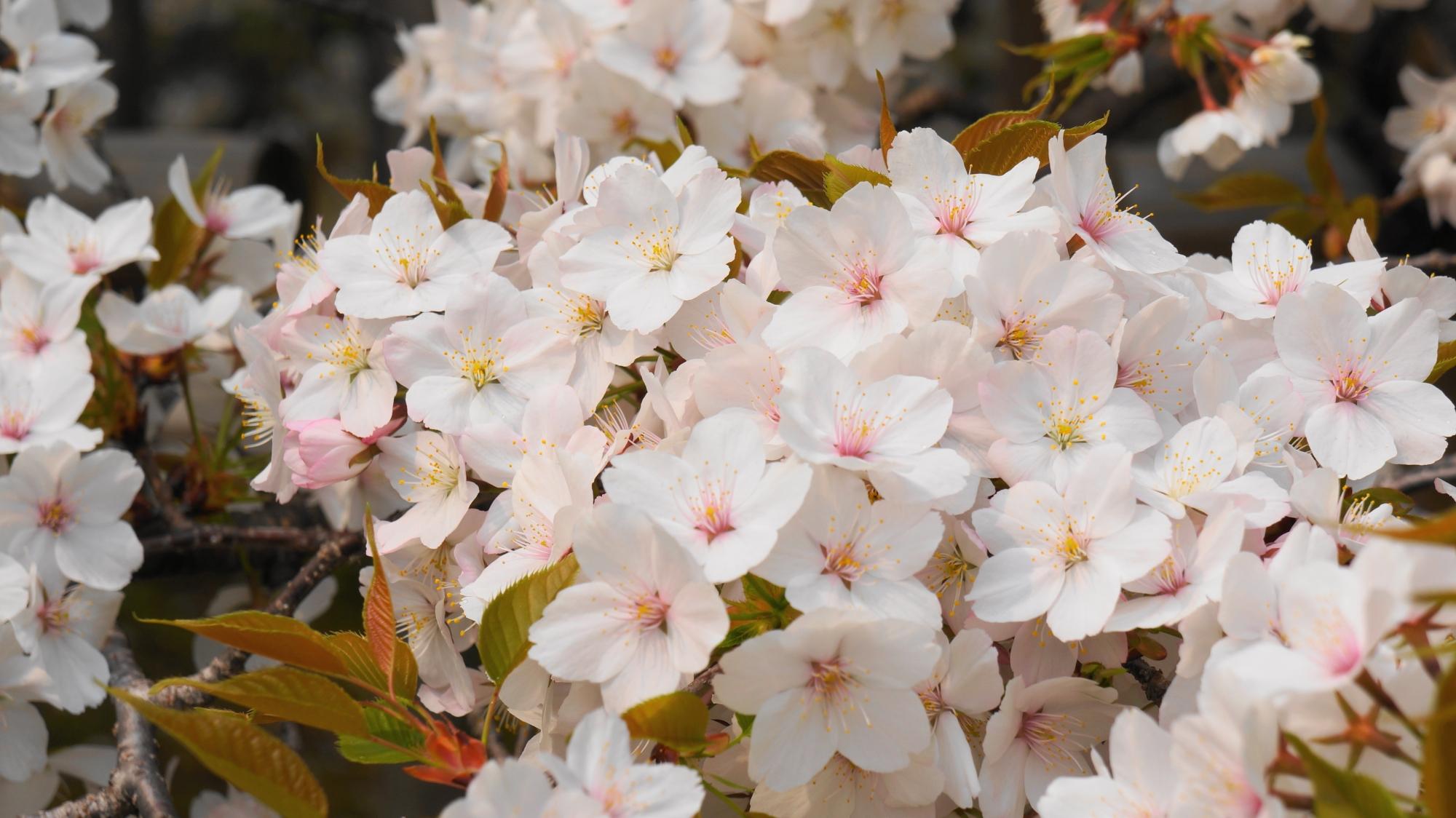 真っ白の花から淡いピンクや薄いピンクの花まで咲く千眼桜