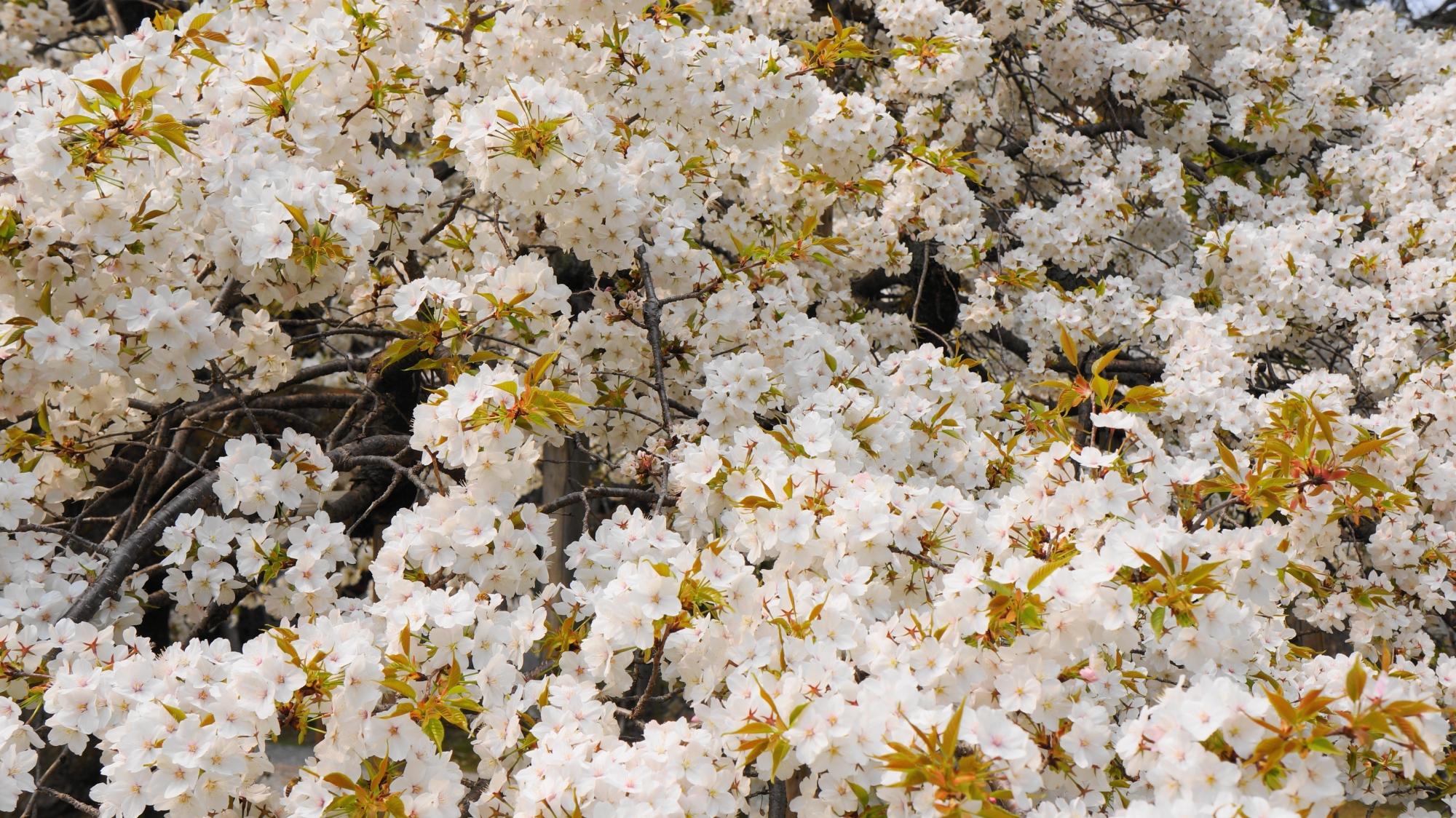葉が出る種類の千眼桜