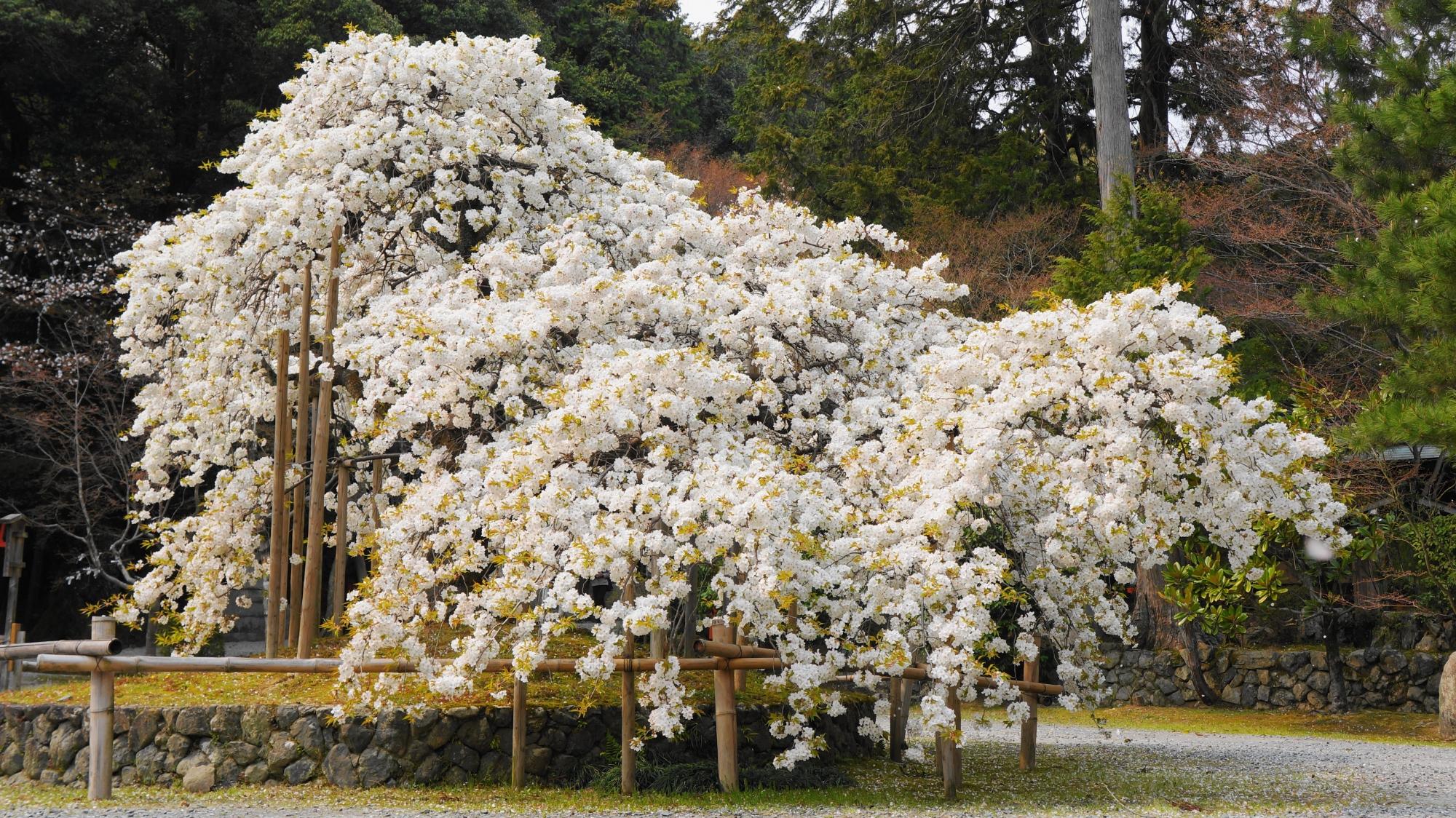 大原野神社の3日で散る幻の桜