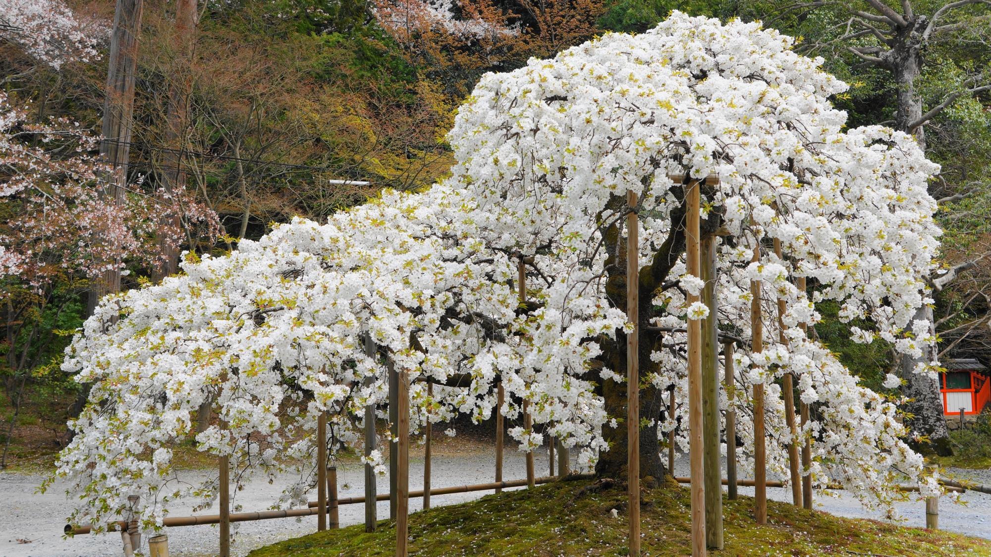 高画質 大原野神社 桜 写真