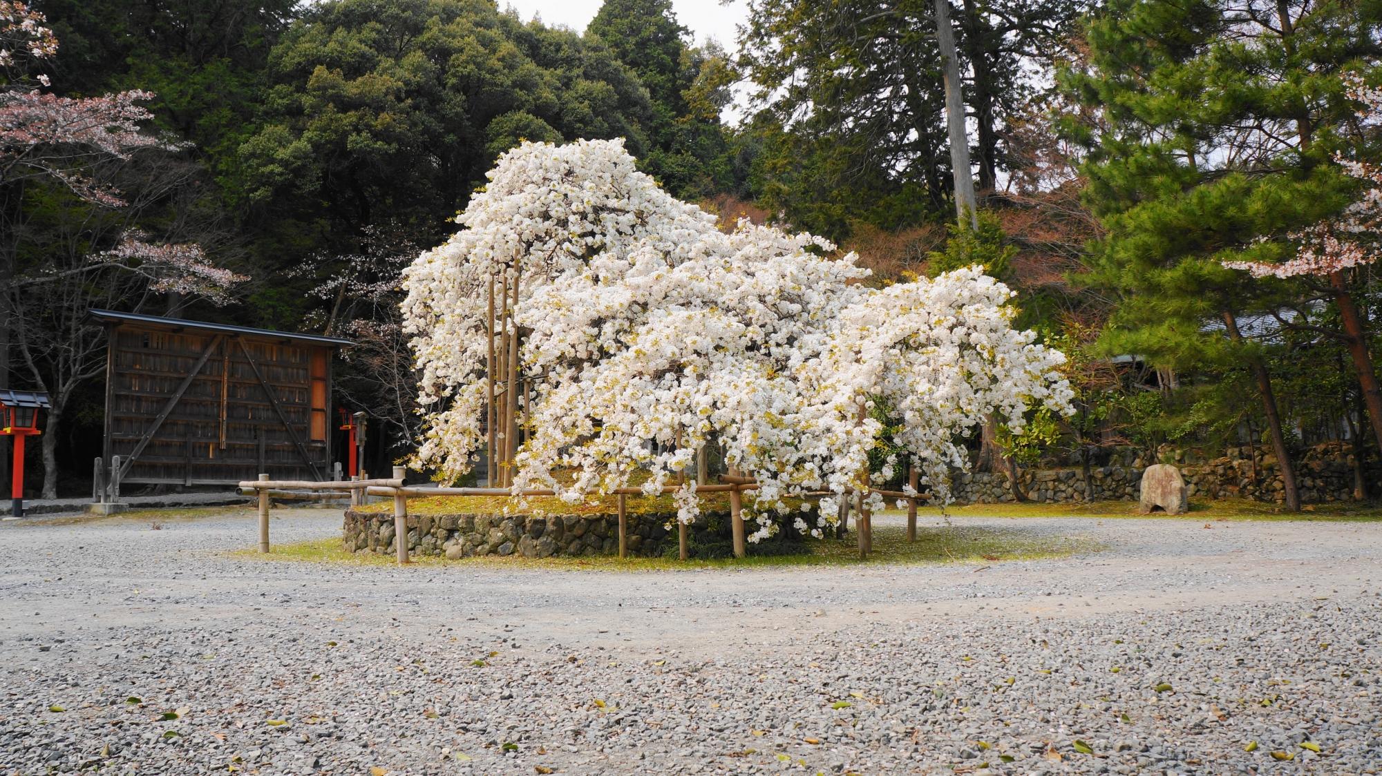 大原野神社の素晴らしい千眼桜と春の情景