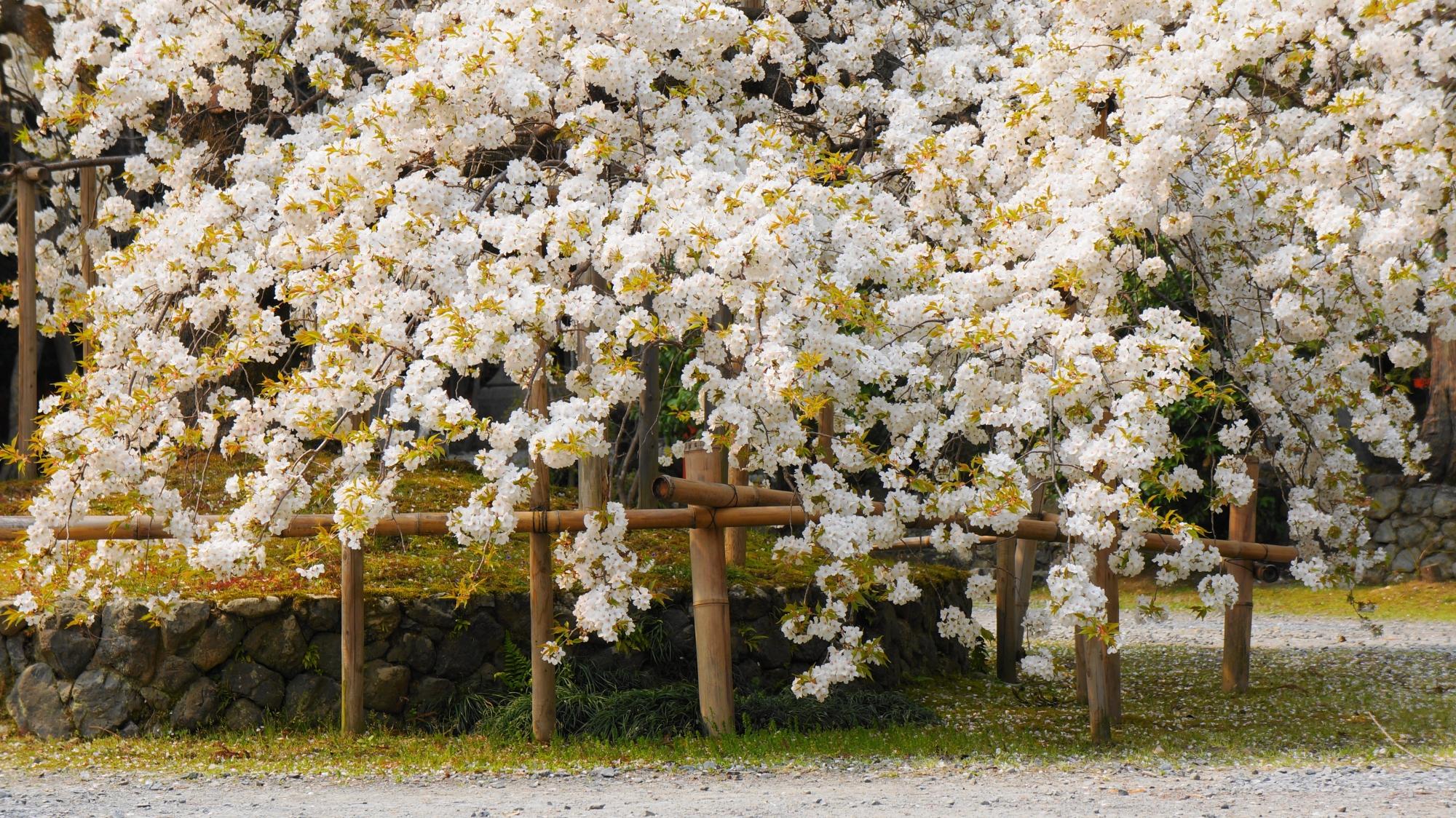 上から下まで咲き乱れる幻の桜