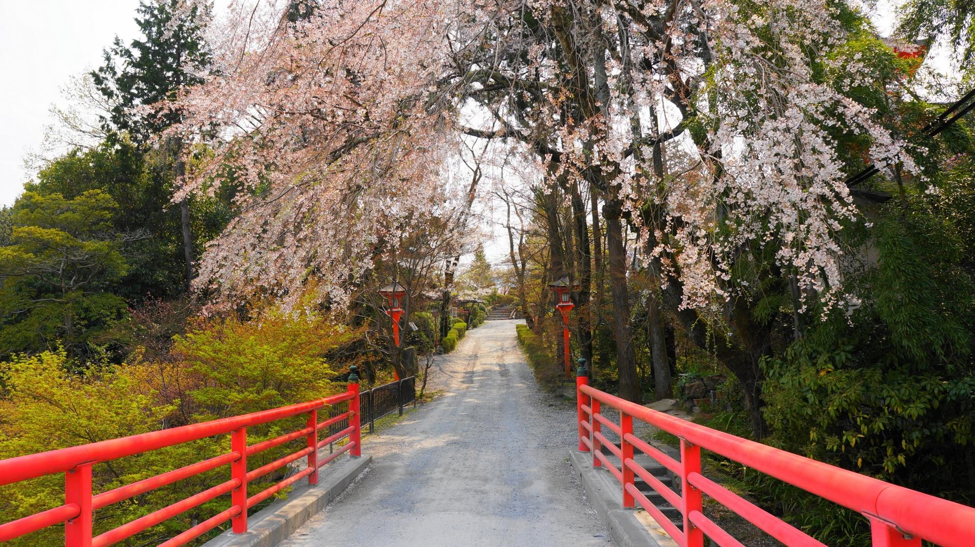 極楽橋と見ごろが過ぎた桜