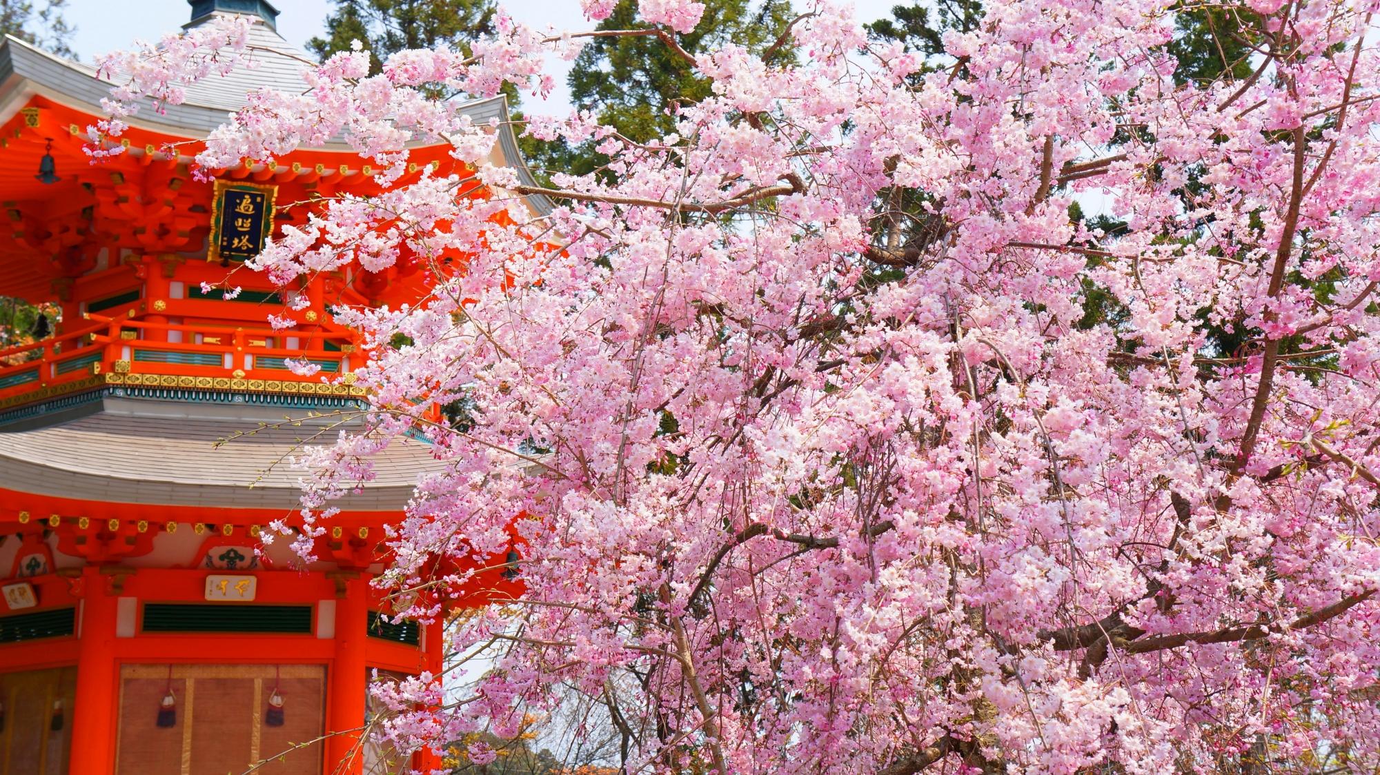 朱色の遍照堂に映える見事なピンクの桜