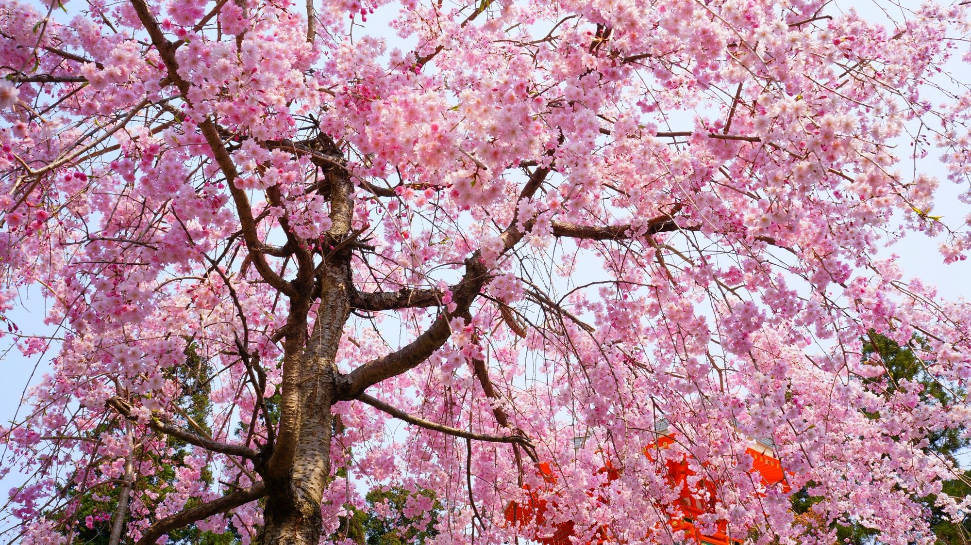 青空と遍照堂を華やかなピンクで彩る桜
