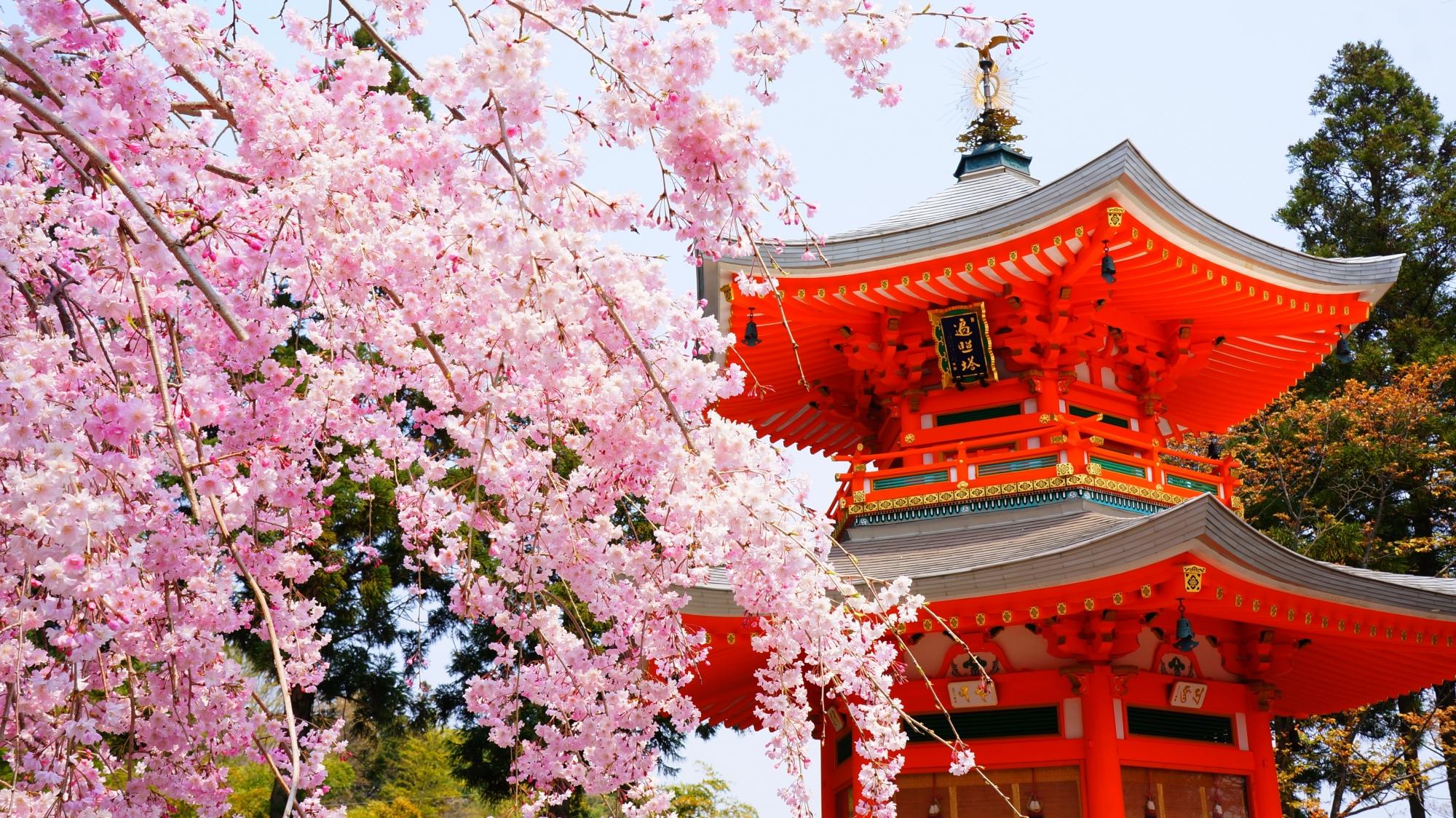 弾けんばかりの満開のしだれ桜